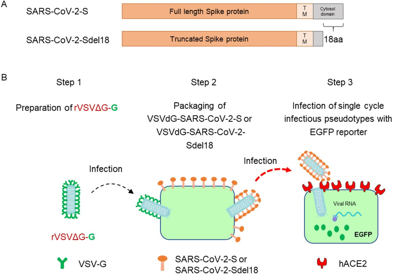 Generation of VSV pseudotypes bearing SARS-CoV-2 spike proteins. (A) The difference between SARS-CoV-2-S and SARS-CoV-2-Sde18. (B) The procedure of producing VSV pseudotypes bearing SARS-CoV-2 spike proteins.
