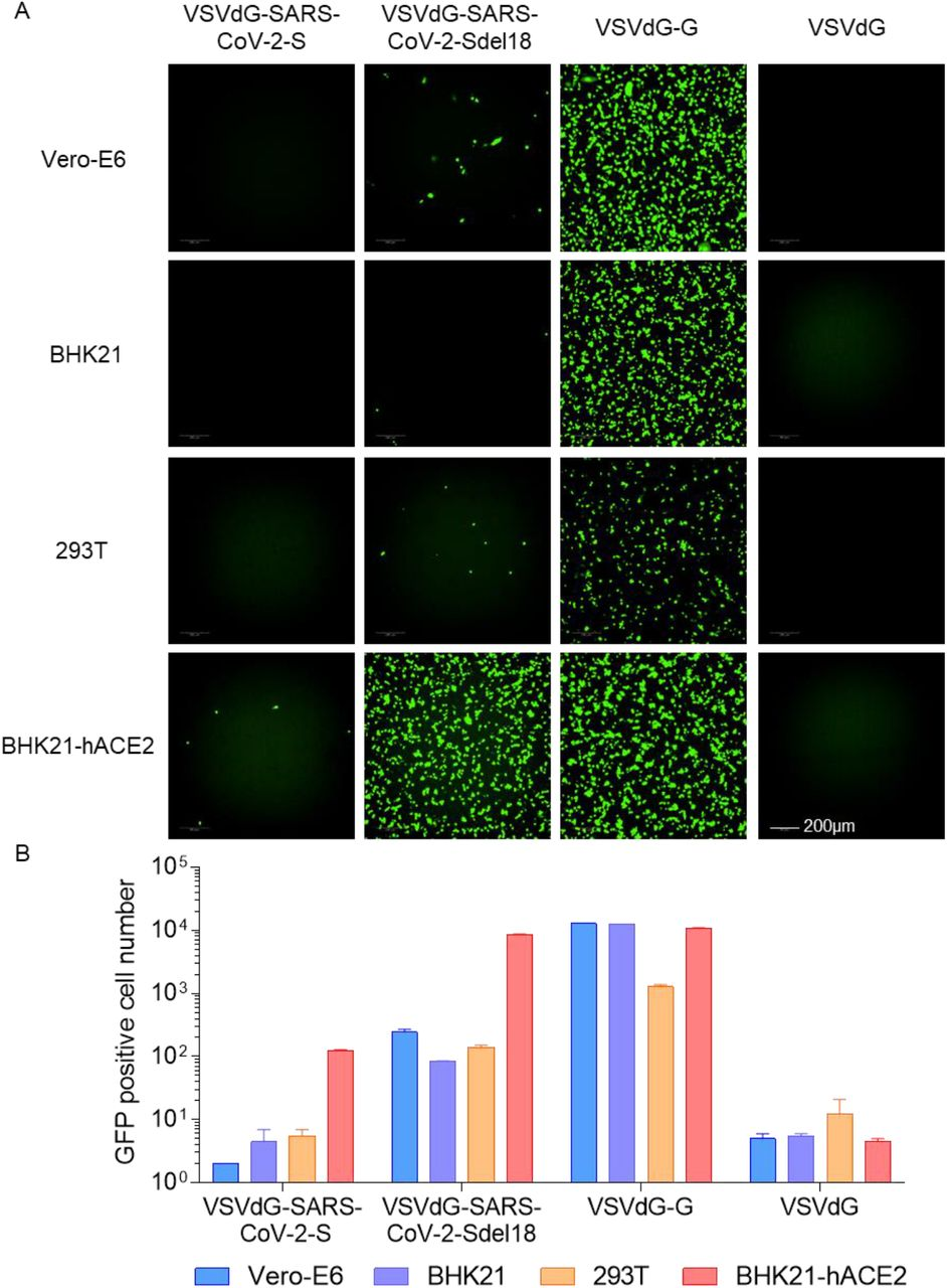 Comparison of the infectious efficiency of pseudotypes in various cell lines. VSVdG virus bearing spike protein of SARS-CoV-2 or G protein of VSV were harvested and the infectivity of these recombinant virus were tested in different cell lines, including Vero-E6, BHK21, 293T and BHK21-hACE2. The fluorescence was detected (A) and GFP positive cell number (B) was counted using Opera Phenix 12 h post infection.