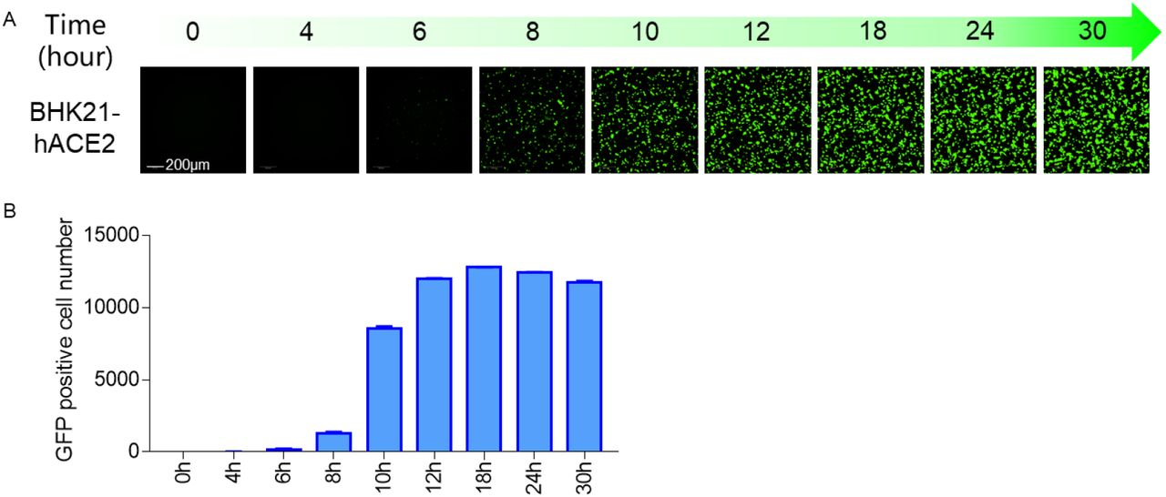 Time course of EGFP expression after VSVdG-SARS-CoV-2-Sdel18 infection. BHK21-hACE2 cell was infected with VSVdG-SARS-CoV-2-Sdel18 virus. The fluorescence was detected (A) and GFP positive cell number (B) was counted using Opera Phenix at different time point post infection.