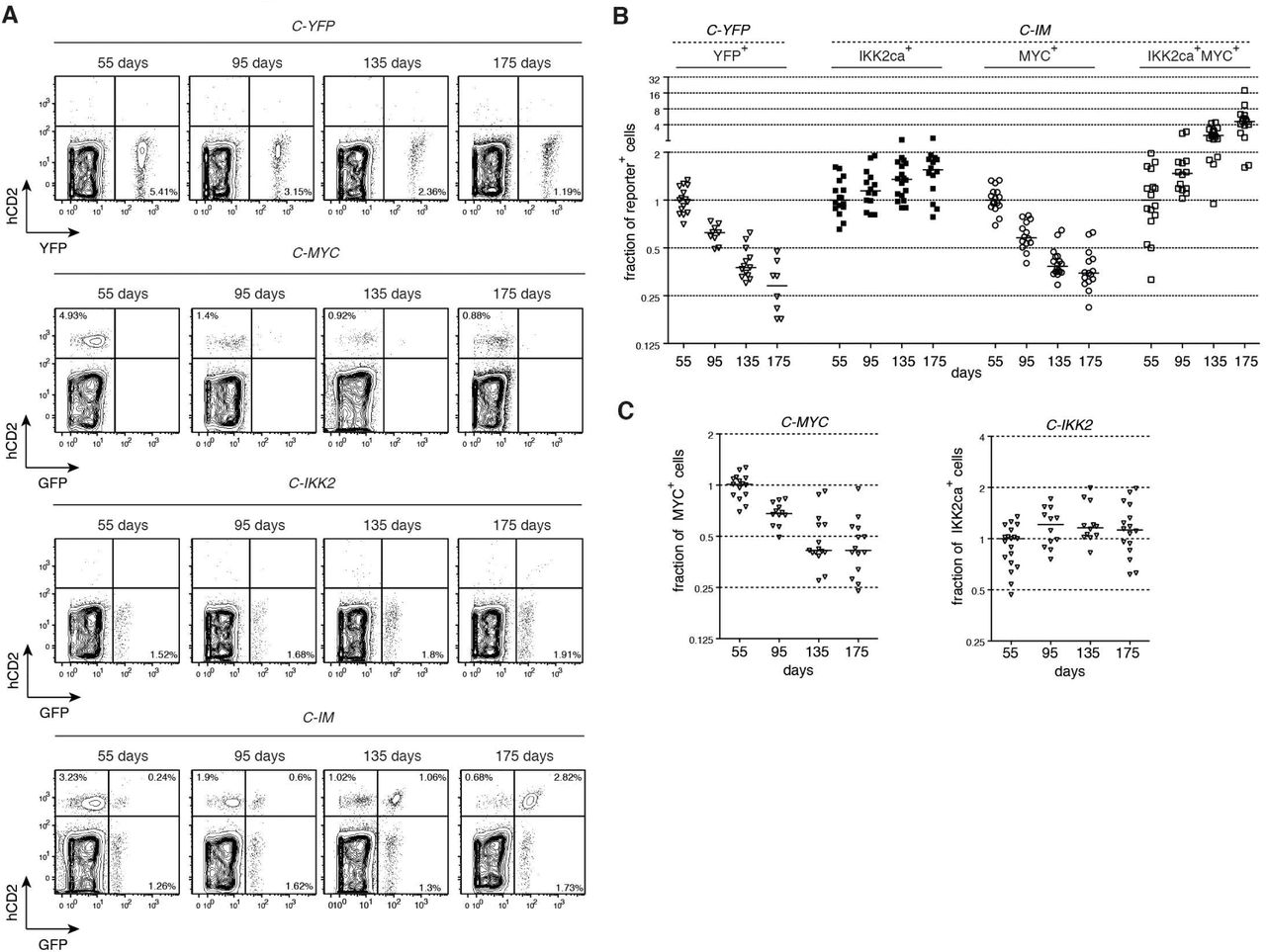 Dynamics of reporter positive subpopulations over-time. (A) Representative flow cytometric analysis of Cre-mediated recombination in the blood of C-YFP, C-MYC, C-IKK2 , and C-IM at days 55, 95, 135, 175 after the first tamoxifen administration. (B) Fraction of cells within the individual reporter positive populations: YFP + in C-YFP mice and GFP neg hCD2 + i.e. MYC + , GFP + hCD2 neg i.e. IKK2ca + , and GFP + hCD2 + i.e. IKK2ca + MYC + in C-IM mice. Frequencies were normalized to day 55 after the first tamoxifen administration. (C) Left, fraction of GFP neg hCD2 + i.e. MYC + in C-MYC mice. Right, fraction of GFP + hCD2 neg i.e. IKK2ca + in C-IKK2 mice. Frequencies were normalized to day 55 after the first tamoxifen administration.
