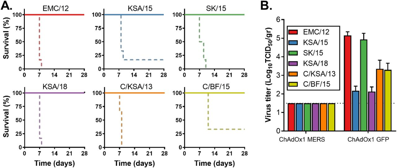 ChAdOx1 MERS provides cross-protection against different MERS-CoV strains in the mouse model. (A) Survival curves of ChAdOx1 MERS vaccinated (solid line) and ChAdOx1 GFP vaccinated (dashed line) hDPP4 mice challenged with MERS-CoV. (B) Infectious virus titers in lung tissue collected on 3 DPI from hDPP4 mice challenged with MERS-CoV. Shown is mean titer with standard deviation.