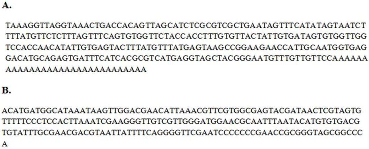 Nucleotide sequence of 3' UTR of BCMV (A) and PMMoV (B) of 3' RACE-PCR amplified products.