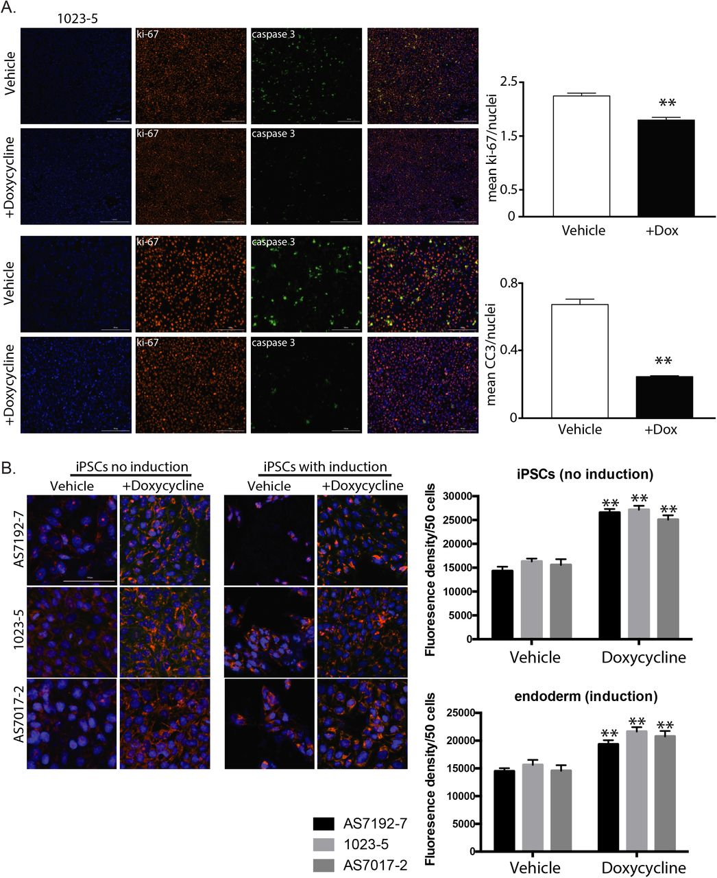 Doxycycline Reduces Apoptosis and Increases Mitochondrial Mass (A) Immunofluorescence of iPSC line 1023-5 on day 2 of induction for Hoechst 33342, Ki-67, Cleaved Caspase 3 (CC3), and combined shows greatly decreased CC3 staining with doxycycline treatment. At this early time point, there is a small but significant decrease in Ki-67. First two rows are 10x with scale bar at 400μm and bottom two rows 20x with 200μm scale bar. (B) Mitotracker Orange staining of iPSCs with no induction and with induction shows that addition of Doxycycline increases the quantity of polarized mitochondria compared to vehicle alone in three separate iPSC lines (AS7192-7, 1023-5, and AS7017-2) (n=3). Scale bar represents 100μm. Data were analyzed by Student's t test and presented as mean ± SEM. * p