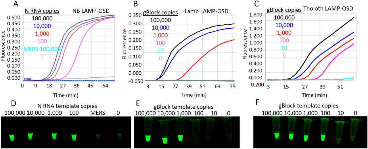 SARS-CoV-2 LAMP-OSD assays. OSD fluorescence measured in real-time during LAMP amplification for NB (A), 5 primer Lamb (B), and Tholoth (C) LAMP-OSD assays are depicted as amplification curves. Presence or absence of OSD fluorescence visually observed at assay endpoint for NB (D), Lamb (E), and Tholoth (F) LAMP-OSD assays are depicted as images of reaction tubes. NB LAMP-OSD assays were seeded with indicated copies of SARS-CoV-2 N RNA or MERS-CoV N RNA or no templates. Lamb and Tholoth LAMP-OSD assays were seeded with indicated copies of gBlock DNA templates.