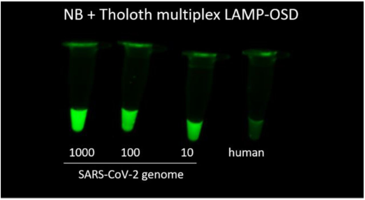 Multiplex LAMP-OSD analysis of SARS-CoV-2 genomic RNA. All assays contained equimolar amount of both Tholoth and NB LAMP primers as well as both Tholoth and NB OSD probes. RNA copies in each reaction are indicated below the respective tube. Control reaction received 23 ng of human genomic DNA. Image of endpoint OSD fluorescence is depicted.