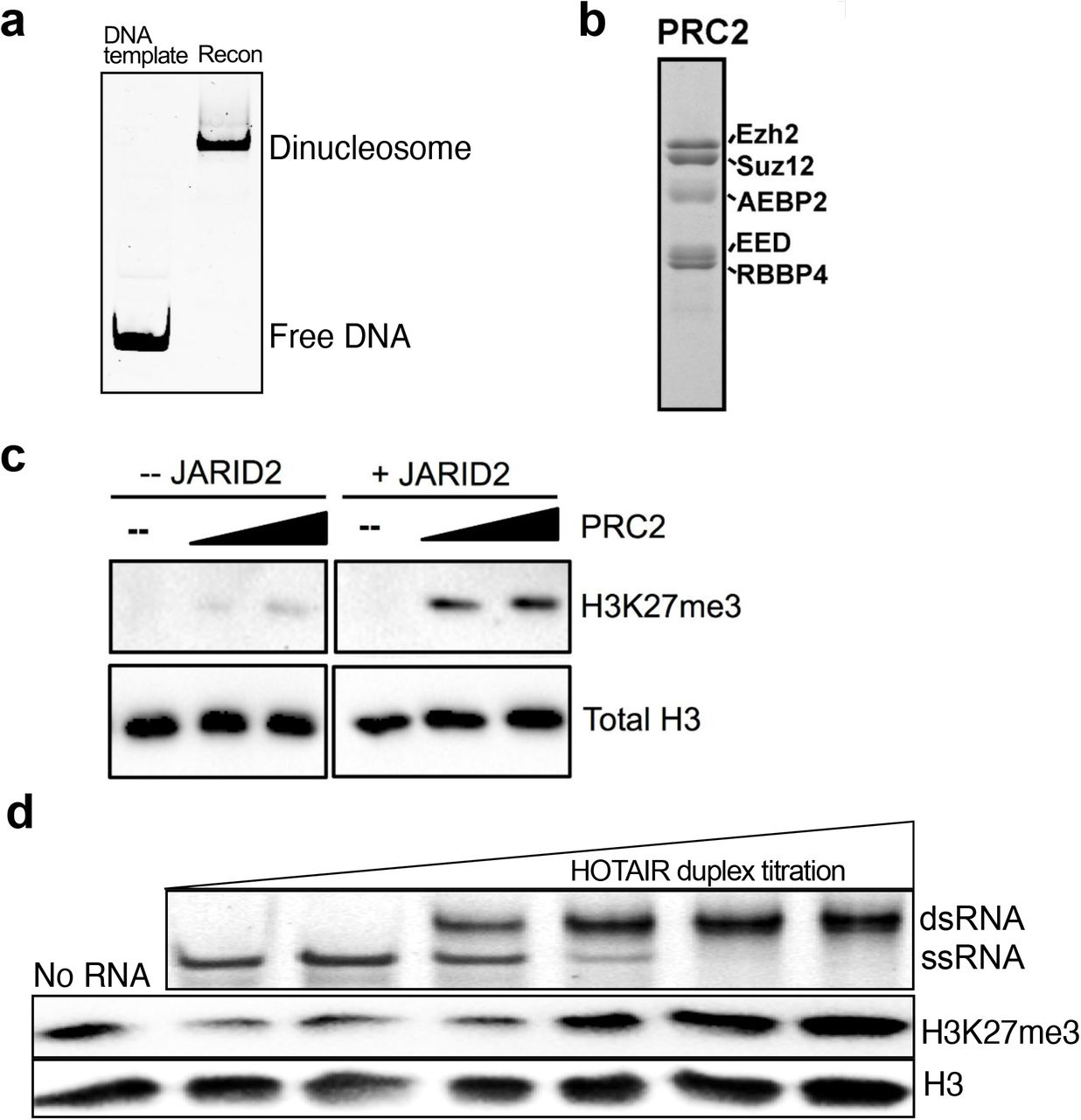 Duplex RNA promotes PRC2 activity. a , Native gel of di-nucleosomes reconstituted via salt dialysis using a DNA template containing two 601 sequences surrounding 40-bp of linker DNA. DNA and nucleosome samples were run on a 5% native polyacrylamide gel and stained with SYBR Gold. b , Recombinant human PRC2 complex includes SUZ12, EZH2, EED, RBBP4 and AEBP2, analyzed by SDS-PAGE and stained with Coomassie blue. c , Histone methyltransferase assay (HMTase assay) was performed with recombinant PRC2 complex, di-nucleosomes, S-Adenosylmethionine (SAM) with and without the co-factor JARID2 (amino acids 119-574). PRC2 activity was determined by SDS-PAGE followed by H3K27me3 and total H3 Western blot analysis. d , Native 0.5X TBE gel of RNA annealing titration with HOTAIR forward and reverse fragments to show formation of dsRNA. HMTase assay with annealed HOTAIR dsRNA titration.
