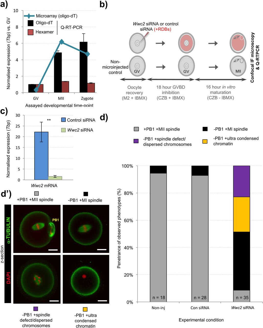 Wwc2 Is A Novel Cell Division Regulator During Preimplantation Mouse Embryo Lineage Formation And Oogenesis Biorxiv