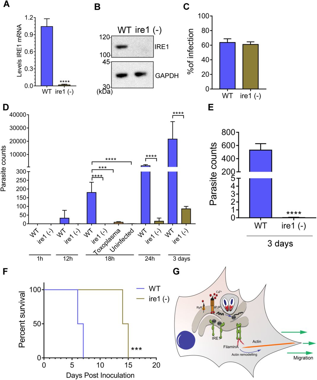 IRE1 facilitates migration of infected DCs in vivo . (A-B) IRE1 was depleted in bone marrow-derived DCs by <t>CRISPR/Cas9</t> and loss of IRE1 expression was assayed by RT- qPCR and immunoblot analyses. (C) WT or ire1 (-) DCs were infected for 18 h and the percentage of infection was determined by counting the number of parasites in 100 cells. (D) Infected WT and ire1 (-) cells were inoculated into mice by i.p. injection (10 6 infected cells). At the indicated hpi, the spleen of each mouse was harvested, and the number of parasites was determined by PCR. ***p