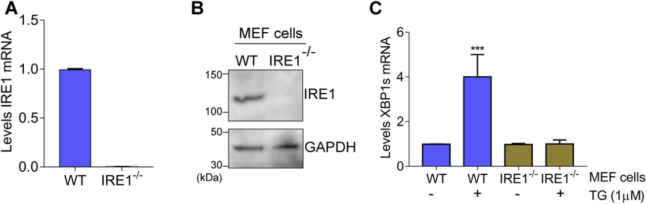 MEF cells were transfected with Cas9 bound to sgRNA targeted to IRE1 as described in the methods section; lowered IRE1 expression resulting from the CRISPR/Cas9 gene editing was evaluated by (A) RT-qPCR and (B) immunoblot analyses. GAPDH was included as a loading control for the immunoblot analyses. (C) WT and IRE1 -/- MEF cells were treated with 1 µM thapsigargin (TG), or no stress agent, for 6 h. Cells were then harvested and the XBP1s mRNA levels were measured by RT-qPCR. The values of XBP1s mRNAs were normalized to values of total XBP1 transcripts. (±SD, n=3) ***p