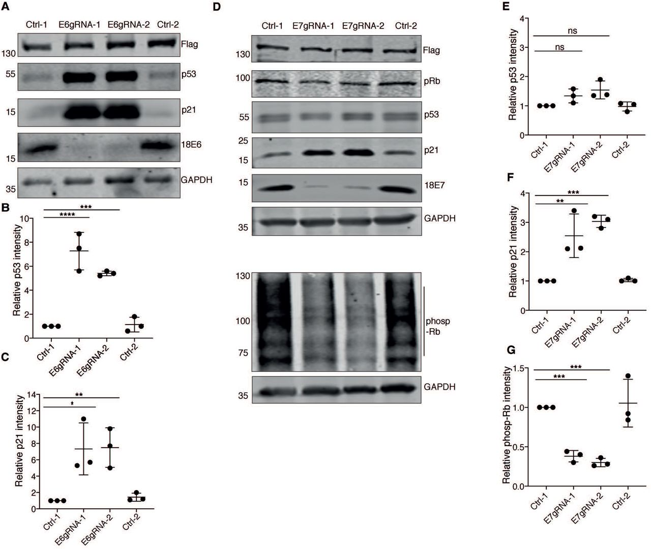 HPV18 E6 and E7 knockout restores p53 and pRb tumor suppressor pathways. (A) HeLa cells expressing only Cas9 (Ctrl-1), Cas9 with 18 E6 specific gRNAs (E6gRNA-1 and E6gRNA-2) and Cas9 with non-specific gRNA (Ctrl-2) were analyzed by western blot. The blot was probed to detect Flag-tagged Cas9 protein, p53, p21, HPV18 E6 and GAPDH. Representative image of three independent experiments is shown. Quantification of endogenous p53 and p21 levels were performed and relative intensities were plotted for the respective experiment in panel and (C). (D) Western blot analysis of protein lysates from cells treated similarly as explained in panel (A), but the gRNAs expressed were targeted for endogenous HPV18 E7 protein and the antibodies were against Flag-Cas9, retinoblastoma protein (pRb), p53, p21, and GAPDH. The lysates were re-run to detect phosphorylated-Rb (phosp-Rb). (E, F, G) The mean band intensities from three independent experiments were compared with those from Ctrl-1 and plotted versus the respective experiment. Relative intensities of (E) p53 (F) p21 (G) phosp-Rb were plotted. The error bars represent mean values with standard deviation. * P