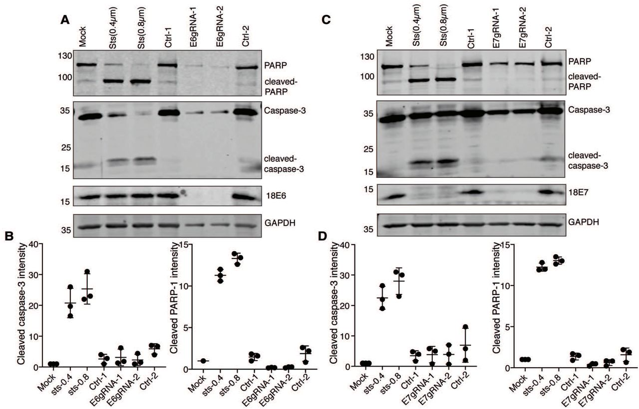 The senescent HeLa cells does not undergo apoptosis. (A) The senescent HeLa cells lysates knocked out for HPV18 E6 protein was analyzed by western blot. The blot was probed for apoptotic markers to detect PARP, cleaved-PARP, Caspase-3 and cleaved caspase-3 proteins. HeLa cells treated with staurosporine (Sts) at final concentrations of 0.4μM and 0.8μM was used as positive control for apoptosis. Representative image of three independent experiments is shown. (B) The cleaved PARP1 and cleaved caspase-3 band intensity from HPV18 E6 knockout cells were normalized with GAPDH and the mean band intensities were plotted versus the respective experiment. (C) The senescent HeLa cells lysates knocked out for HPV18 E7 protein was analyzed by western blot. The blot was probed in same way as explained in panel A. (D) The cleaved PARP1 and cleaved caspase-3 band intensity from HPV18 E7 knockout cells was normalized with GAPDH and the mean band intensities were plotted versus the respective experiment.