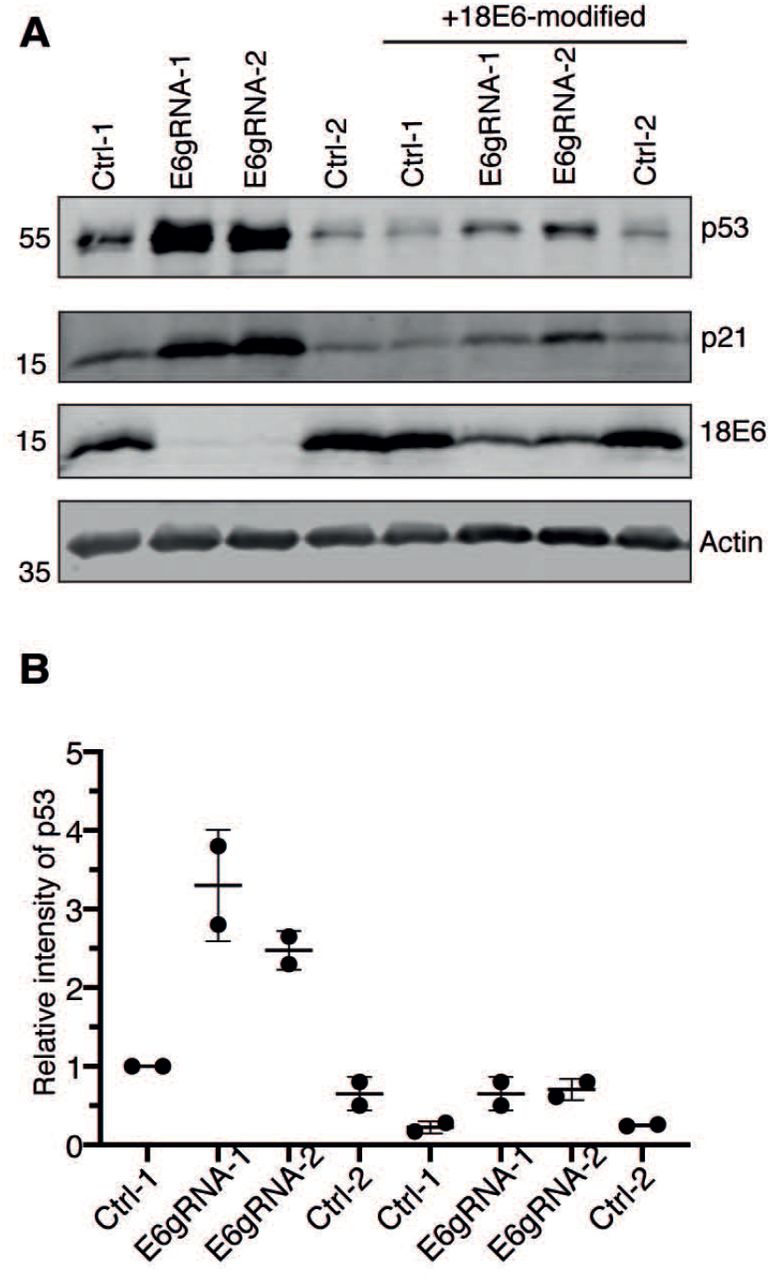 Re-introduction of HPV18 E6 in senescent HeLa cells. HPV18 E6 knock out senescent cells were transfected with either codon modified 18E6 expressing plasmid or empty plasmid followed by western blot analysis. The blot was probed for antibodies against p53, p21, 18E6 protein and actin. Representative image of two independent experiments is shown. (B) The mean p53 signal from two independent experiments was normalized with loading control actin and the relative intensity of p53 with Ctrl-1 was plotted versus the respective experiment.