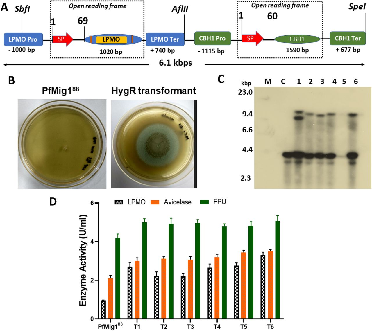 Simultaneous overexpression of LPMO and CBH1 in Pf Mig1 88 . (A) Schematic diagram showing the construction cassette for dual overexpression of LPMO and CBH1 genes from P. funiculosum NCIM1228. (B) Transformants of pOAO5 after AMTM transformation in Pf Mig1 88 . Transformants were selected on 100 µg/ml hygromycin. (C) Southern blot of transformants confirmed by <t>PCR.</t> M is HindIII lambda <t>DNA</t> size marker used; Lane C indicates genomic DNA of non-transformed parental strain; Lanes 1-5 represent genomic DNA from transformants with LPMO/CBH1 cassette integration; (D) The enzymatic profile of the overexpressed enzymes in the fermentation broth of Pf Mig1 88 and six transformants.