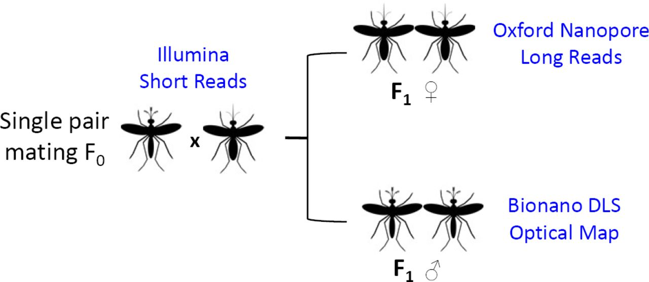 Sample and data collection scheme. The left shows the cross of a single male and female mosquito to produce male and female F1 offspring. The F0 father and mother were sequenced individually using Illumina HiSeq to obtain short reads. Genomic DNA from a pool of the female F1 sibling was sequenced using three Oxford Nanopore MinION flow cells to produce long reads. Genomic DNA from a pool of the male F1 sibling was used to generate Bionano DLS optical mapping. Oxford Nanopore reads were used to generate the contigs using Canu (ref) and the Canu contigs were polished using the parental Illumina reads. The polished Canu contigs were scaffolded using the Bionano DLS optical map to generate the AalbS3 assembly.