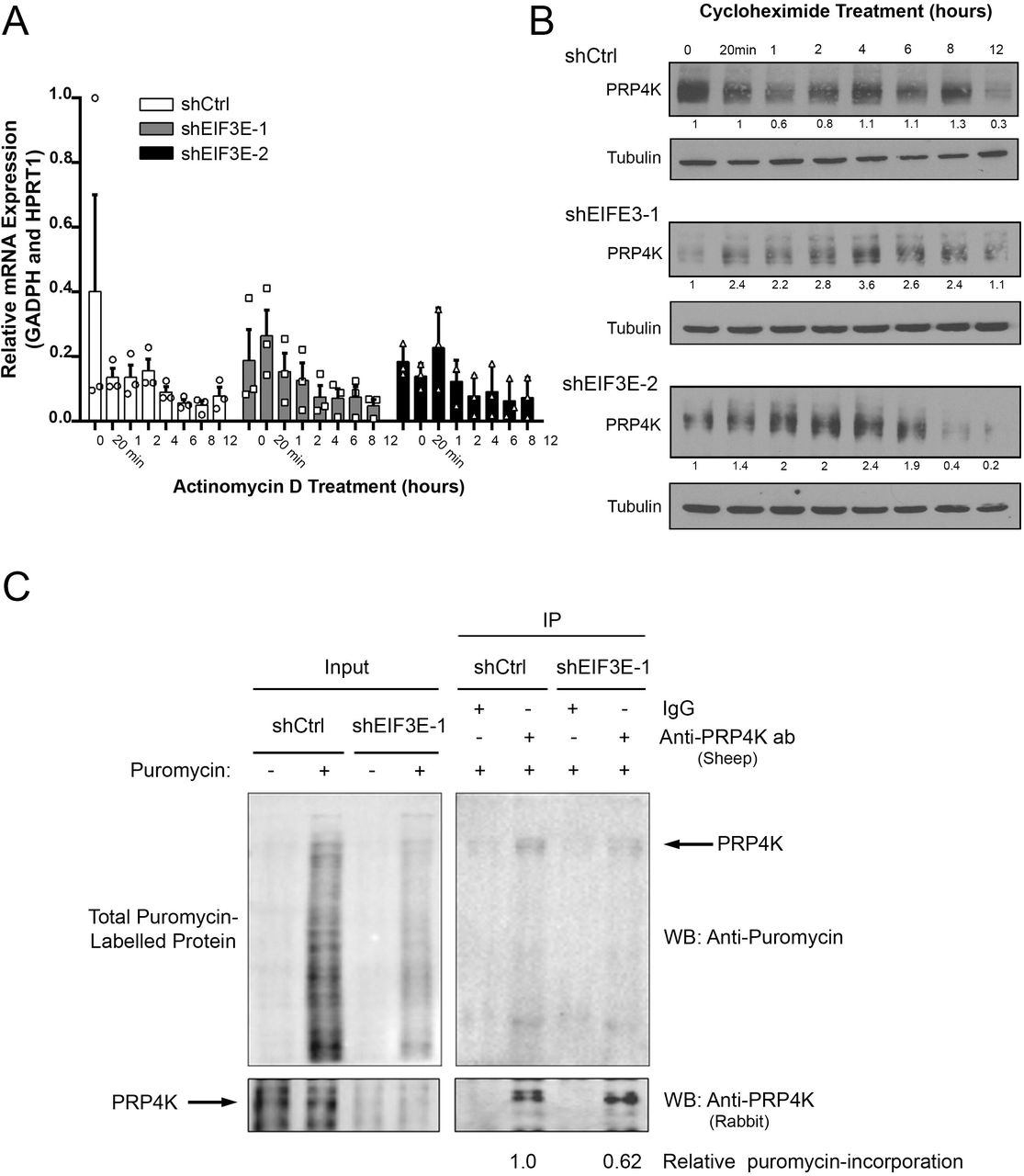 The induction of EMT by depletion of eIF3e negatively regulates the translation of PRP4K in MCF10A cells. A ) Quantitative PCR of PRP4K gene ( PRPF4B ) mRNA expression in control (shCtrl) and eIF3e-depleted (shEIF3E-1 and shEIF3-2) MCF10A cells treated with 10 μg/mL Actinomycin D for the indicated time periods, with data normalized to at least two reference genes as indicated. N = 3, error bars= SEM. Significance was determined by a one-way ANOVA. B ) Western blot analysis of whole cell lysates of MCF10A shCtrl and shEIF3E cells treated with 50μg/mL cycloheximide for the indicated time periods. C ) Puromycin incorporation assay of MCF10A shCtrl and shEIF3E cells. Cells were grown for 24 h without puromycin selection and then pulsed with puromycin prior to Western blot analysis of total cell lysates (left) or following immunoprecipitation (IP) of PRP4K and detection of puromycylation of proteins and PRP4K (right).