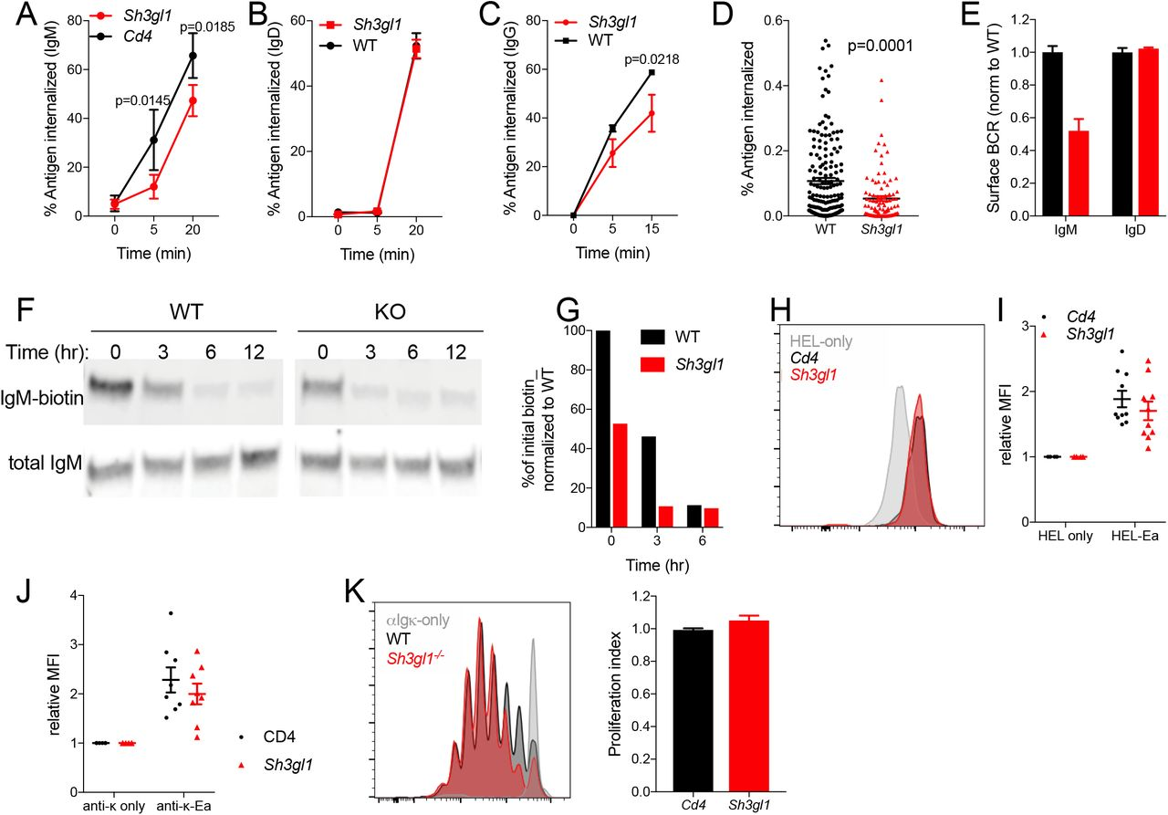 Endophilin A2 positively regulates BCR internalization but is dispensable for antigen presentation. (A) Soluble anti-IgM internalization in CRISPR-targeted follicular B cells. N = 11-12 mice. (B) Soluble anti-IgD internalization. N = 3 mice. (C) Soluble anti-IgG internalization in GC B cells from SRBC-immunized mice. N = 4 mice. (A-C) Data show mean ± SEM. P, statistical significance from two-way ANOVA. (D) Internalization of anti-IgM from PMS quantified in fixed naïve B cells at 10 min post synapse formation. N =172 and 97 cells analyzed in one out of 2 representative experiments. P = 0.0001 in unpaired t test. (E) Surface IgM or IgD MFI relative to WT in naïve splenic B cells. N = 3 mice. (F) IgM degradation following total cell surface biotinylation, measured as loss of biotin-labelled IgM in cell lysates over time. (G) Western densitometry quantifying IgM degradation assay. One representative experiment of three independent tests. (H) MHCII antigen presentation in SWHEL B cells 24 hours post adoptive transfer and immunization with Ea-HEL-SRBC conjugate as detected by anti-Y-Ae surface stain. (I) Relative anti-Y-Ae MFI in CRISPR-targeted B cells normalized to HEL-only immunized mice. N = 10 immunized mice across 3 experiments. (J) In vitro antigen presentation in CRISPR-targeted B cells measured by anti-Y-Ae. N = 8 independent cultures in 2 experiments. (K) Proliferation (CFSE dilution) of OTII CD4 cells in cocultures with anti-Igκ-OVA pulsed B cells; and quantification from 6-8 mice.