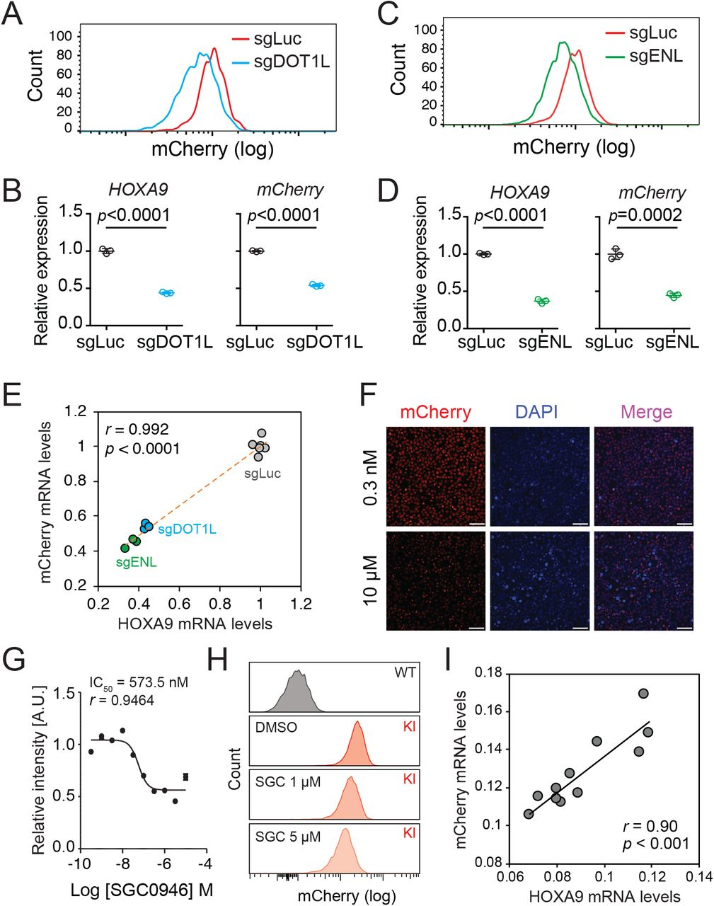 The HOXA9 P2A-mCherry reporter allele recapitulates endogenous transcription of HOXA9 in MLLr SEM cells (A) Flow cytometry analysis of the HOXA9 P2A-mCherry cells targeted with luciferase-sgRNA and DOT1L-sgRNA. (B) Q-PCR analysis of the HOXA9 P2A-mCherry cells targeted with luciferase-sgRNA and DOT1L-sgRNA by using specific primers targeting the mRNA sequences of mCherry and HOXA9 . Three biological replicates were performed. Data shown are means ± SEM from replicate independent experiments. The P -value was calculated by performing a two-tailed t -test. (C) Flow cytometry analysis of the HOXA9 P2A-mCherry cells targeted with luciferase-sgRNA and ENL-sgRNA. (D) Q-PCR analysis of the HOXA9 P2A-mCherry cells targeted with luciferase-sgRNA and ENL-sgRNA by using specific primers targeting the mRNA sequence of mCherry and HOXA9 . Three biological replicates were performed. The P -value was calculated by performing a two-tailed t -test. (E) The correlation of transcription reduction in mCherry and HOXA9 in response to CRISPR–mediated targeting was calculated by Pearson's correlation test. (F) Fluorescence imaging was performed on the HOXA9 P2A-mCherry cells treated with various dosages of DOT1L inhibitor SGC0946 for six days. Representative images were shown for comparison between 0.3 nM and 10 μM dosages. For each dosage treatment, four replicates were conducted (scale bar 50 μm). (G) Fluorescence curve was generated according to mCherry intensity in response to dosage dependent treatment of drug for six days. About 20,000 cells were split in each of the 384-well at the starting time point. (H) Flow cytometry analysis of the HOXA9 P2A-mCherry cells treated with DMSO and various dosages of the DOT1L inhibitor SGC0946. (I) Q-PCR analysis of the HOXA9 P2A-mCherry cells with or without the six-day treatment of the DOT1L inhibitor SGC0946 by using specific primers targeting the mRNA sequences of mCherry and HOXA9 . The correlation of transcription reduction in mCherry and HOXA9 in response to inhibitor–mediated transcription repression was calculated by performing Pearson's correlation test.