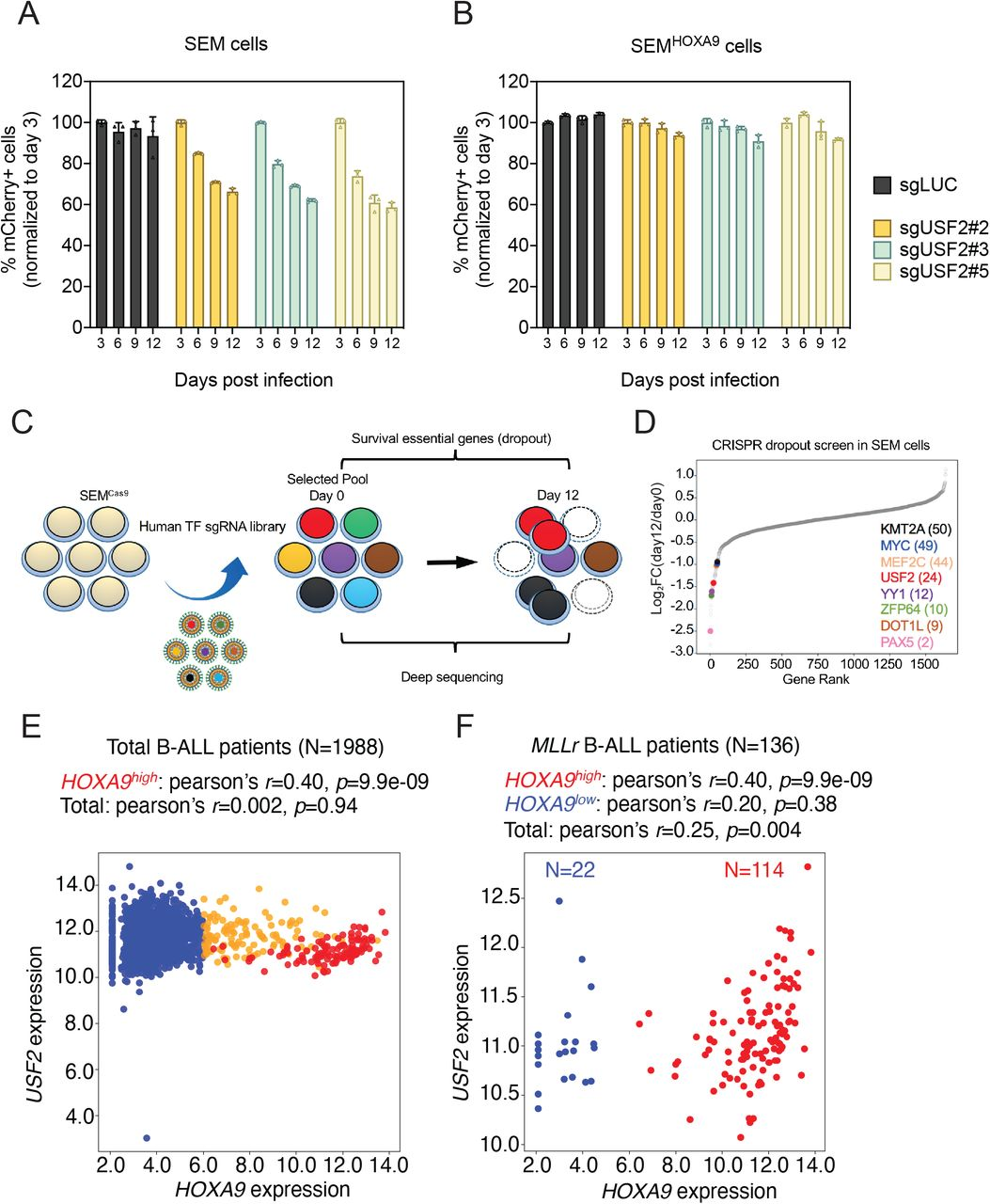 USF2 is a selectively essential gene in MLLr leukemia by controlling HOXA9 expression (A) Competitive proliferation assay was conducted by infecting SEM Cas9 cells with Lentiviral-mCherry-sgRNAs against luciferase (sgLuc) and USF2 (sgUSF 2-2, 2-3 and 2-5) at about 50% efficiency. The mCherry% was quantified every three days by flow cytometry to evaluate the growth disadvantage. The survival essential gene sgRPS19 was included as a positive control. (B) Rescued competitive proliferation assay was conducted by infecting SEM cells overexpressing ectopic HOXA9 with Lentiviral-mCherry-sgRNAs against luciferase (sgLuc) and USF2 (sgUSF2-2, 2-3 and 2-5) at about 50% efficiency. The mCherry% was quantified every three days by flow cytometry to evaluate the growth disadvantage. (C) Flow diagram of dropout CRISPR screening procedure. (D) Gene ranking of all transcription factors from dropout screening was illustrated. The enrichment score of seven sgRNAs against each transcription factor was combined by the MAGeCK algorithm. (E) Pearson's correlation of transcriptional levels of USF2 and HOXA9 in a cohort of 1,988 B-ALL patients ( 26 ). (F) Pearson's correlation of transcriptional levels of USF2 and HOXA9 in a cohort of 136 MLLr B-ALL subtype patients.
