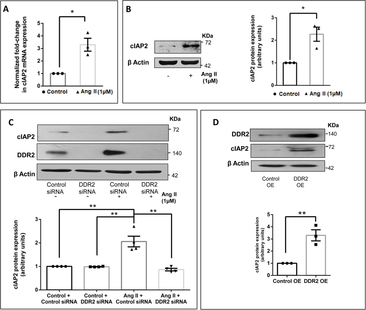 DDR2 mediates Ang II-stimulated expression of anti-apoptotic cIAP2 in cardiac fibroblasts. Sub-confluent quiescent cultures of cardiac fibroblasts were stimulated with Ang II (1μM). (A) cIAP2 mRNA levels were determined by Taqman Real-time PCR analysis at 6h of Ang II treatment. β-actin served as the endogenous control. Significance was determined by Student's t test, *p
