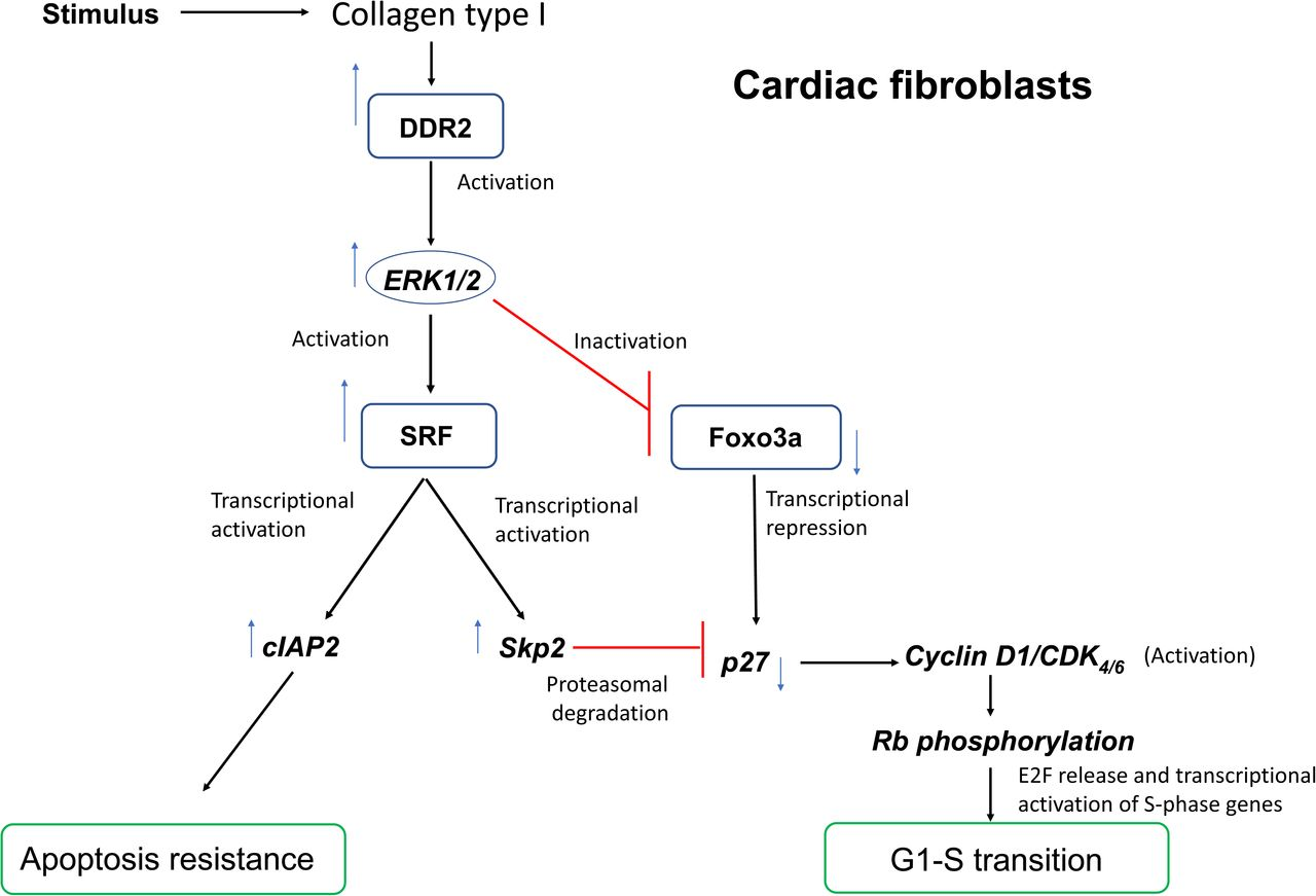 A schematic representation of the plausible molecular events that integrate apoptosis resistance and proliferation under the regulatory control of DDR2 in cardiac fibroblasts. In response to the stimulus (Ang II or 10% FCS), collagen type I-dependent activation of DDR2 leads to the activation of ERK1/2 MAPK that in turn activates SRF to: i) transcriptionally increase cIAP2, conferring apoptosis resistance, ii) increase Skp2 and promote Skp2-mediated post-translational degradation of p27, and iii) inactivate FoxO3a, through phosphorylation, to transcriptionally repress p27. Transcriptional and posttranslational inhibition of p27 results in Cyclin D1/CDK4/6 complex-dependent phosphorylation of Rb protein, facilitating the transcription of S-phase genes and G1-S transition.