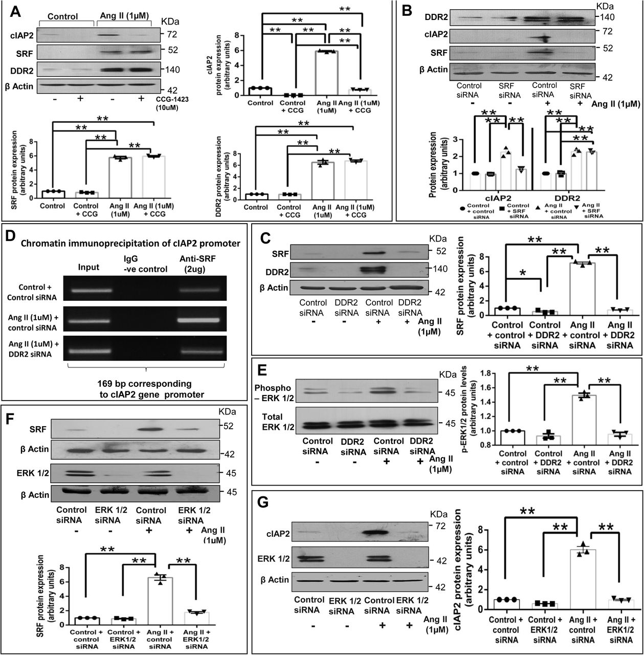 DDR2-dependent ERK1/2 MAPK activation acts via SRF to transcriptionally upregulate cIAP2 expression in Ang II-stimulated cardiac fibroblasts. ( A ) Sub-confluent quiescent cultures of cardiac fibroblasts were pre-treated with CCG-1423(10μM) for 45 min prior to treatment with Ang II (1μM) for 12h. cIAP2, SRF and DDR2 protein expression was examined by western blot analysis, with β-actin as loading control. Significance was determined by two-way ANOVA (Tukey's multiple comparisons test, **p