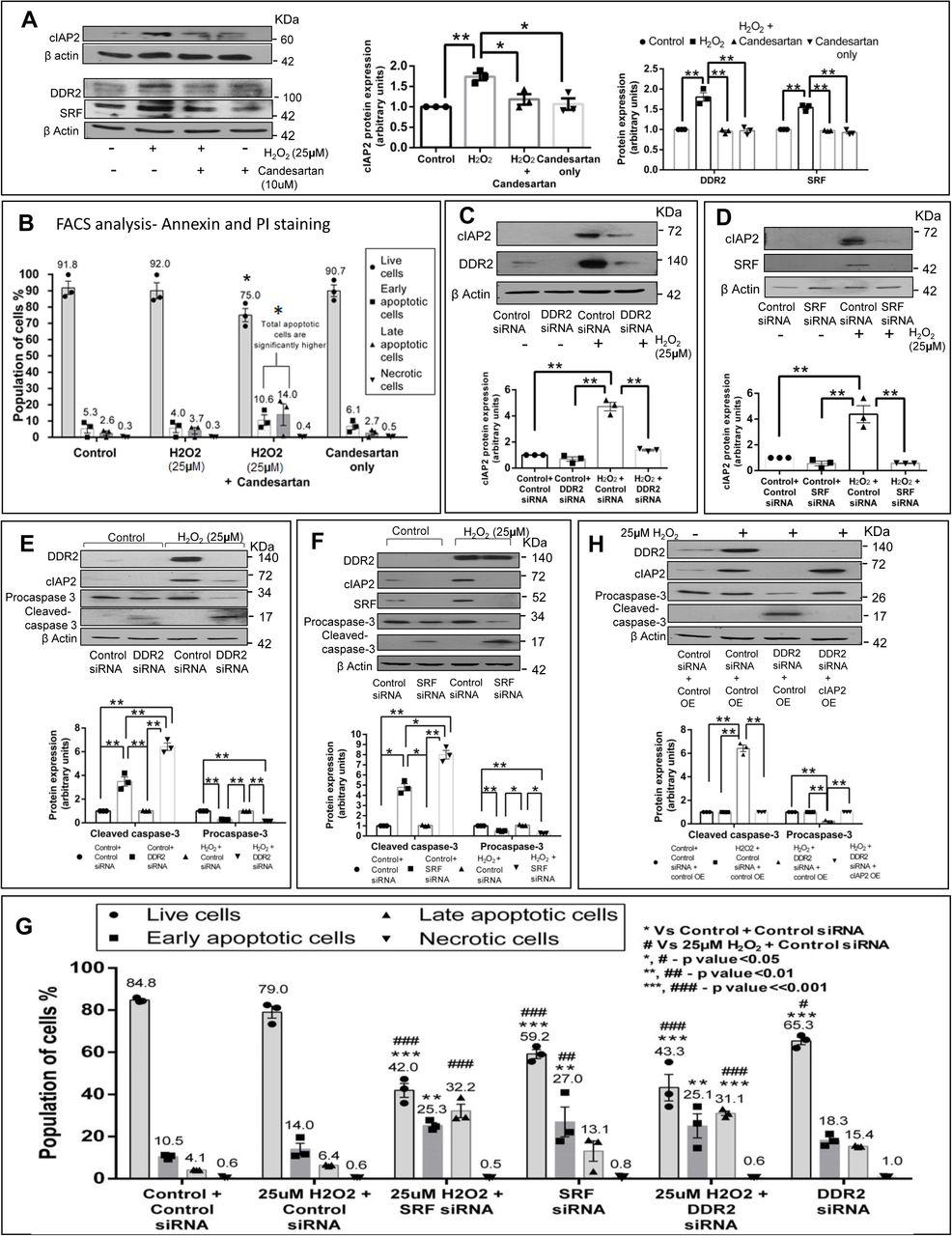 DDR2-dependent cIAP2 expression protects cardiac fibroblasts against oxidative damage. ( A-B ) Effect of AT1 receptor antagonist, Candesartan, on H 2 O 2 -treated cardiac fibroblasts was analysed. Four sets of sub-confluent cultures of cardiac fibroblasts were serum-deprived for 24h: i) no treatment (control), ii) 25μM H 2 O 2 iii) pre-incubated with 10μM candesartan (AT1 receptor antagonist) for 1 h and was treated with 25μM H 2 O 2 iv) 10μM candesartan alone. ( A ) Cells were collected 12h post-H 2 O 2 addition and analysed by western blot for the expression of cIAP2, DDR2 and SRF, with β-actin as loading control. Significance was determined by two-way ANOVA (Tukey's multiple comparisons test, *p