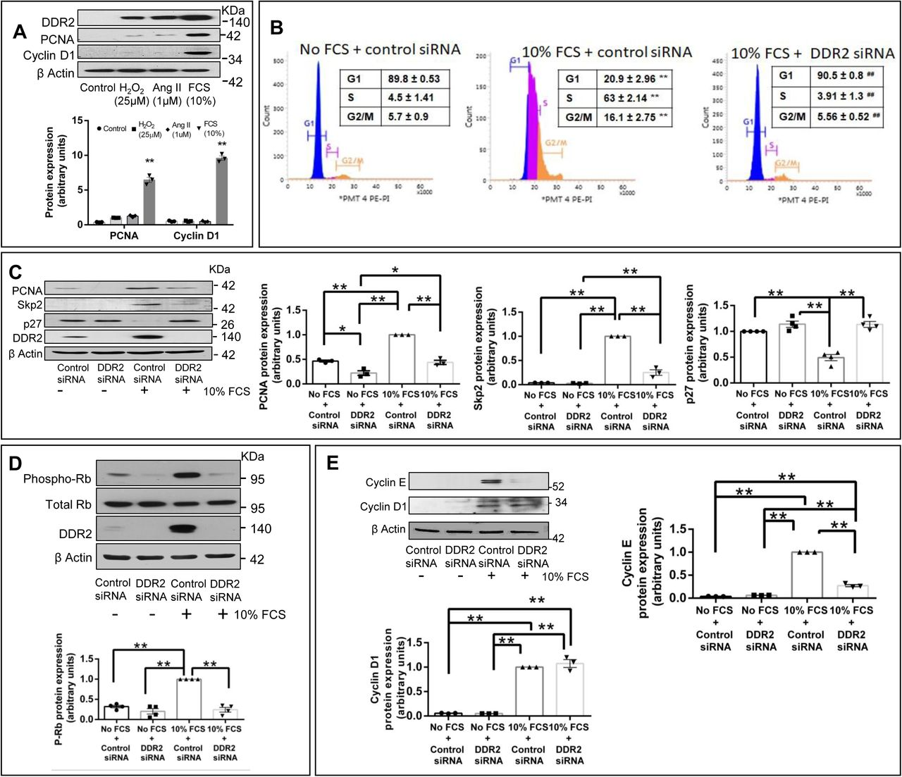 DDR2 knockdown in mitogen-stimulated cardiac fibroblasts inhibits G1-S transition. ( A) Sub-confluent cultures of cardiac fibroblasts were serum deprived for 24h prior to treatment with Control (fresh M199 medium treatment), 25μM H 2 O 2 , Ang II (1μM) and 10% Fetal Calf Serum. Post treatment, cells were collected at 8h and analysed by western blotting for expression levels of PCNA and cyclin D1, with β-actin as loading control. Significance was determined by Student's t test, (each treatment vs Control) **p