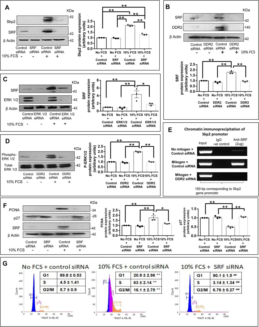 Regulation of p27: Post-translational regulation via SRF-dependent Skp2. ( A-G ) Sub-confluent cultures of cardiac fibroblasts were transfected with SRF siRNA ( A, F and G ), ERK1/2 siRNA ( C ) or DDR2 siRNA ( B, D and E ) (with Control siRNA) and, following revival for 12h in 10% serum-supplemented medium, the cells were serum-deprived for synchronization. Post-synchronization, the cells were exposed to 10% Fetal Calf Serum. ( A ) SRF siRNA transfected cells were collected at 8h and analysed by western blotting for expression levels of Skp2, with β-actin as loading control. Significance was determined by two-way ANOVA (Tukey's multiple comparisons test, **p