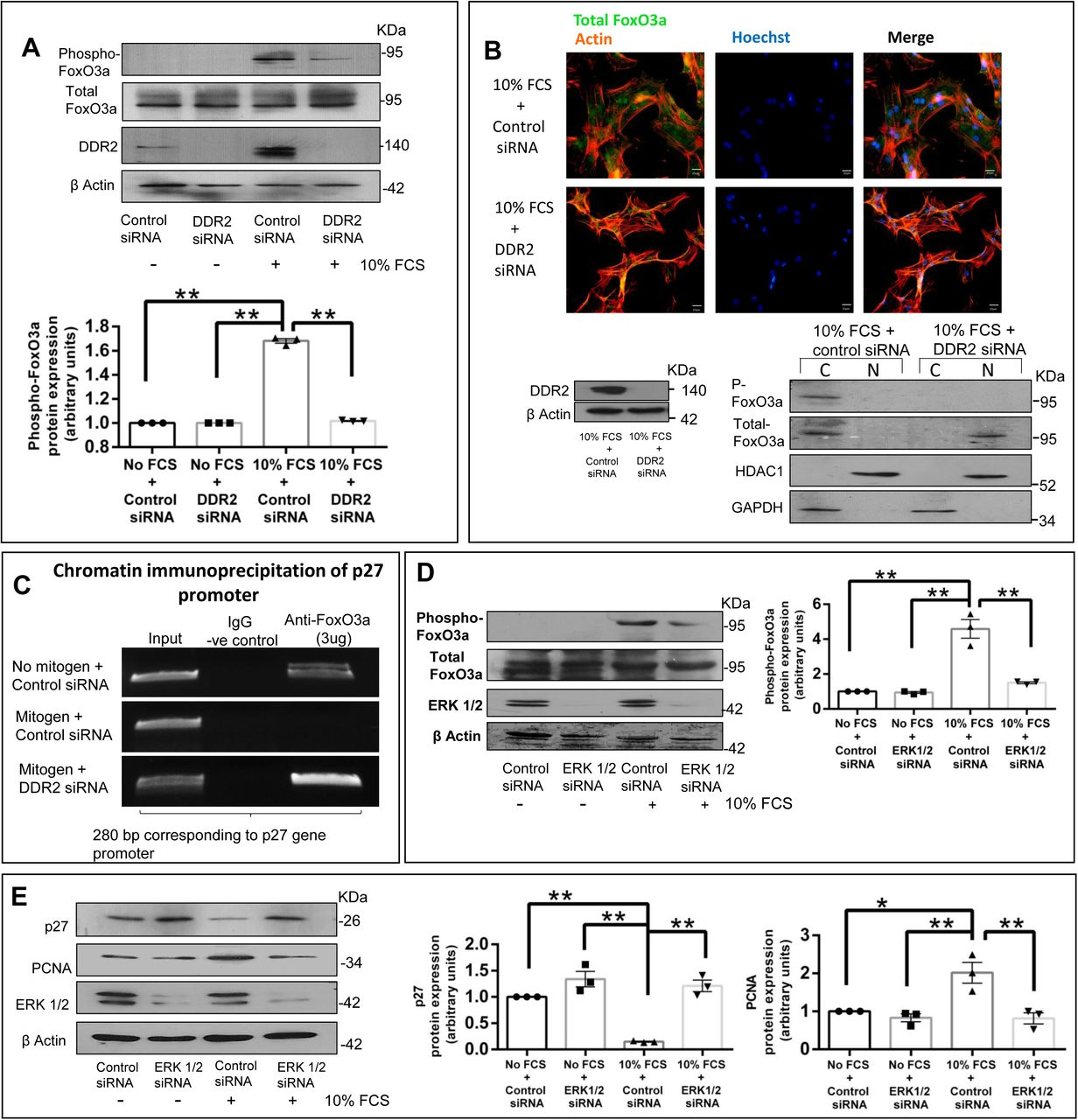 Regulation of p27 by DDR2: ii) Transcriptional regulation through modulating FoxO3a activity. ( A-E ) Sub-confluent cultures of cardiac fibroblasts were transfected with DDR2 siRNA ( A, B and C ) or ERK1/2 siRNA ( D and E ) (with control siRNA) and, following revival for 12h in 10% serum-supplemented medium, the cells were serumdeprived for synchronization. Post-synchronization, the cells were exposed to 10% Fetal Calf Serum. ( A ) DDR2 siRNA-transfected cells were collected at 8h and analysed by western blotting for expression levels of Phospho-FoxO3a (T32)/Total FoxO3a, with β-actin as loading control. Significance was determined by two-way ANOVA (Tukey's multiple comparisons test, **p