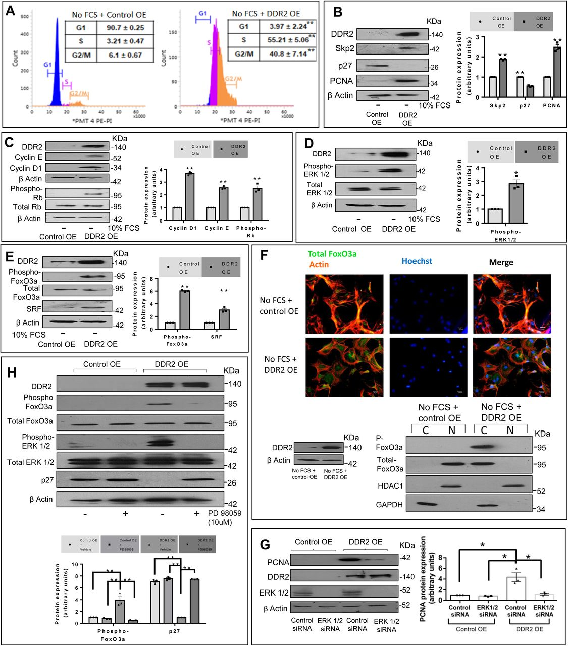 DDR2 over-expression facilitates G1-S transition in mitogen-deprived cardiac fibroblasts. ( A-E ) Cardiac fibroblasts transfected with DDR2 cDNA over-expression plasmid (DDR2 OE) or empty vector control (Control OE) were subjected to western blot analysis (with β-actin as loading control) or flow cytometric analysis. Validation of DDR2 overexpression is also shown. ( A ) Flow cytometric profile of G1-S transition, showing distribution of cells in each phase. Significance was determined by Student's t test, **p