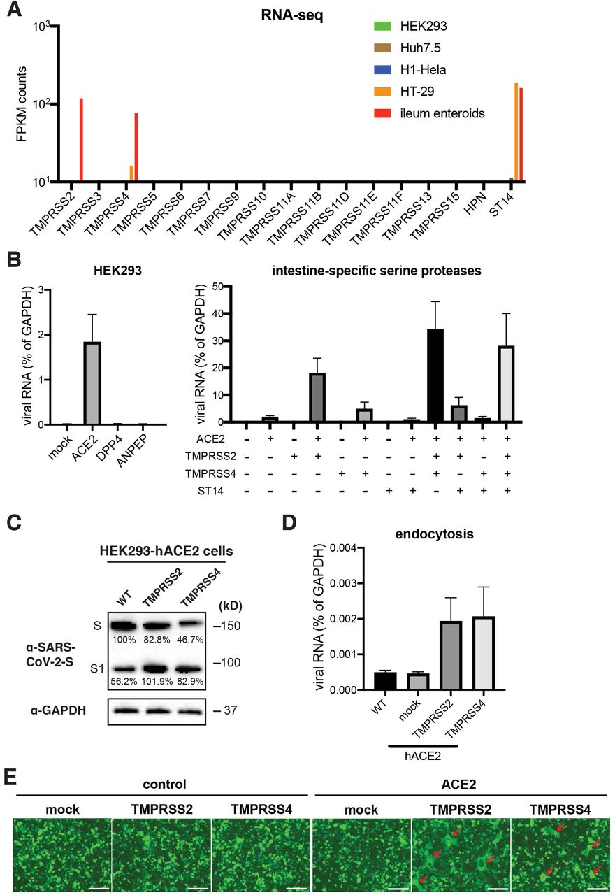TMPRSS2, TMPRSS4 but not ST14 mediate SARS-CoV-2 entry (A) Bulk RNA-sequencing results of intestine-specific serine protease expression in HEK293, Huh7.5, H1-Hela, HT-29 cells and human ileum enteroids. (B) HEK293 cells were transfected with pcDNA3.1-V5-ACE2, DDP4, or ANPEP for 24 hours (left panel), or transfected with indicated plasmid combination for 24 hours (right panel), and infected with 1.5×10 5 PFUs of SARS-CoV-2 chimera virus for 24 hours. The expression of VSV-N was measured by RT-qPCR and normalized to that of <t>GAPDH.</t> (C) HEK293 cells stably expressing human ACE2 were transfected with C-terminally tagged SARS-CoV-2 S and TMPRSS2 or TMPRSS4 or 48 hours. The levels of S and GAPDH were measured by western blot. The intensity of bands were quantified by ImageJ and shown as percentage of the top band in lane 1. (D) HEK293 cells stably expressing human ACE2 were transfected with TMPRSS2 or TMPRSS4 for 24 hours, incubated with 5.8×10 5 PFUs of SARS-CoV-2 chimera virus on ice for 1 hour, washed with cold PBS for 3 times, and shifted to 37 °C for another hour. The expression of VSV-N was measured by RT-qPCR and normalized to that of GAPDH. (E) Wild-type or human ACE2 expressing HEK293 cells were transfected with SARS-CoV-2 S and <t>GFP,</t> with or without TMPRSS2 or TMPRSS4 or 24 hours. The red arrows highlight the formation of large syncytia.