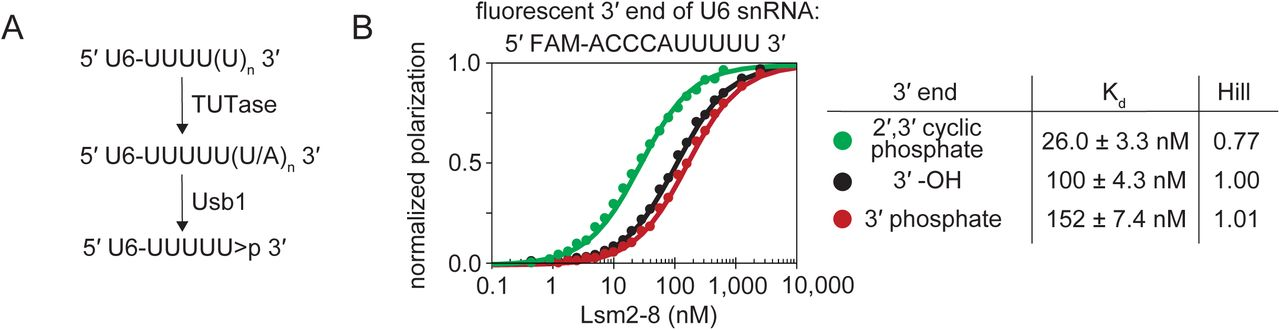 """3'-processing of U6 snRNA alters its recognition by S. pombe Lsm2-8. A) Processing of U6 by Usb1 leaves a 3′ cyclic phosphate group on U6, denoted as """" > p"""". B) In vitro binding assays show that S. pombe Lsm2-8 preferentially binds RNA that has been processed by Usb1. All binding curves and K d determinations in this work were performed with a restrained Hill coefficient of 1. For reference, the non-restrained Hill coefficients, which are close to 1, are shown in the figure."""