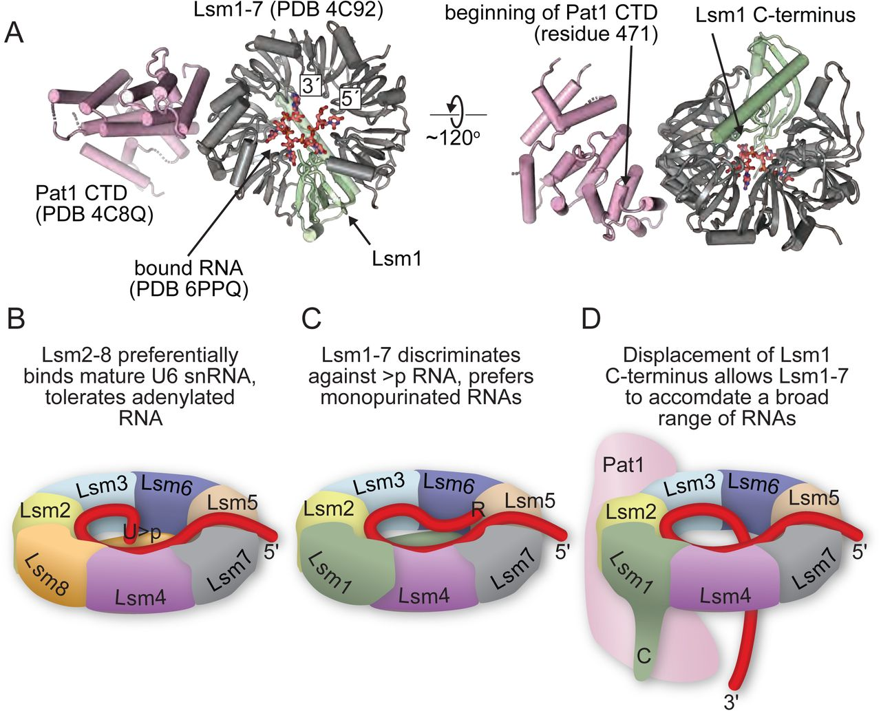 Proposed model for Pat1-regulated gating of the Lsm1-7 RNA-binding pore. A) Relative orientations of RNA, Lsm1-7 and Pat1 proteins, derived from structures of S. pombe Lsm1-7 with RNA and S. cerevisiae Lsm1-7 with the C-terminal domain of Pat1 ( 11 ). B) Model for RNA binding specificity in Lsm rings. The Lsm2-8 ring contains a uridine-cyclic phosphate binding site that includes the C-terminus of Lsm8 and endows specificity for Usb1 processed U6 snRNA. C) In contrast, the C-terminal region of Lsm1 in the Lsm1-7 ring antagonizes association of the ring with uridine-cyclic phosphate terminated RNA, while allowing association of the ring with 3′ monopurinated polyuridylate tracts. D) Deletion of the C-terminal region of Lsm1 allows the ring to associate with a broader range of RNAs. In vivo , the role of Lsm1 truncation may be mimicked by displacement of the C-terminus by association of the ring with the Pat1 co-factor. It remains to be seen if RNA is capable of threading all the way through the pore of the RNA, as depicted here, or rather enters and exits the pore on the proximal face alone.