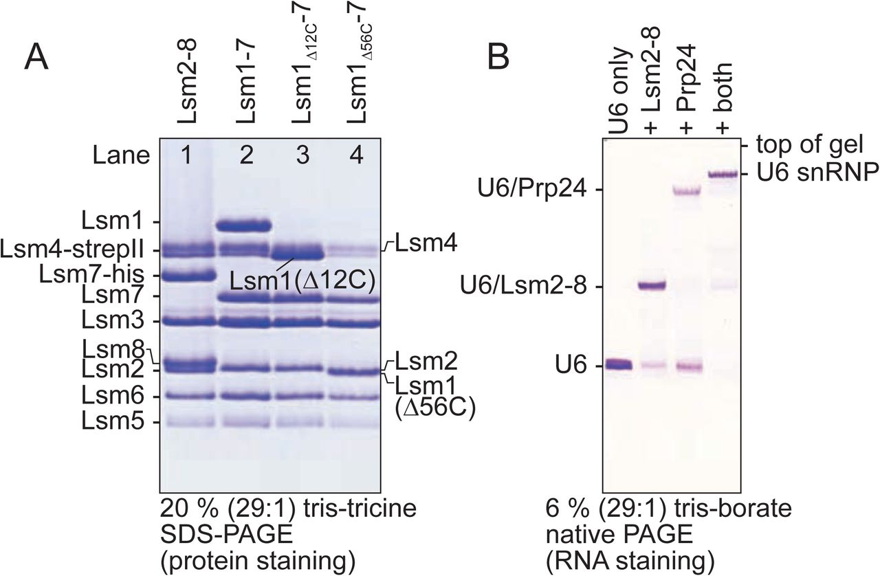 Production of recombinant S. pombe Lsm rings that can bind RNA and form macromolecular complexes. A) SDS-PAGE analysis of Lsm2-8 and Lsm1-7 proteins made by the pQLink system ( 36 ) in E. coli and purified with the use of multiple, cleavable affinity tags. Lsm4 appears as a very close doublet, either due to incomplete denaturation on SDS PAGE or partial proteolysis of its C-terminus which has no visible electron density in the crystal structures reported here and is predicted to be a region of low complexity. All masses for all Lsm proteins were confirmed by mass spectrometry and no proteolytic fragments of Lsm4 were detected by mass spectrometry. The Lsm7 subunit in Lsm2-8 (lane 1) retains a C-terminal oligohistidine tag that is not present in the final Lsm1-7 samples (lanes 2-4). B) S. pombe Lsm2-8 can form recombinant U6 snRNPs after addition of Prp24 and U6 snRNA.