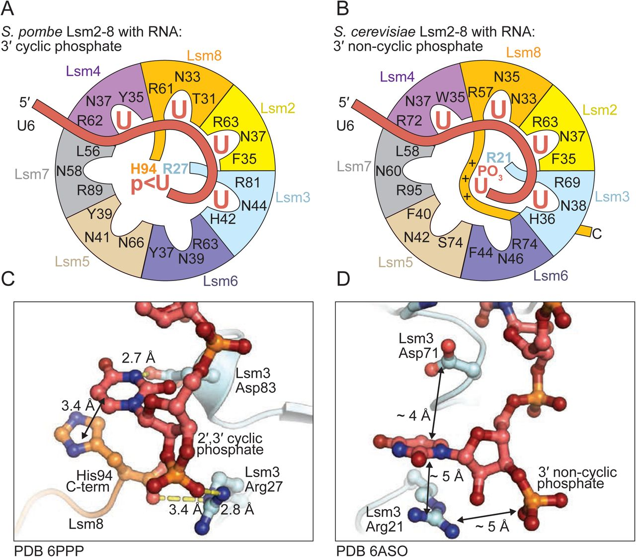 Comparison of how 3' processed U6 RNA is recognized by S. cerevisiae and S. pombe Lsm2-8. A) S. pombe Lsm2-8 binds the 3′ uridine cyclic phosphate in the middle of the ring through non-Sm contacts with Lsm8 and Lsm3. B) The C-terminal tail of Lsm8 in S. cerevisiae is elongated and extends past the terminal uridine-phosphate. In lieu of direct interaction with 3′ uridine-phosphate, the tail of Lsm8 in S. cerevisiae interacts with the phosphate through long range electrostatics. C,D) Detailed comparisons of how the cyclic and non-cyclic phosphates are coordinated by the S. pombe and S. cerevisiae Lsm2-8 rings, respectively. Lsm3-Arg27 directly coordinates the cyclic phosphate in S. pombe .