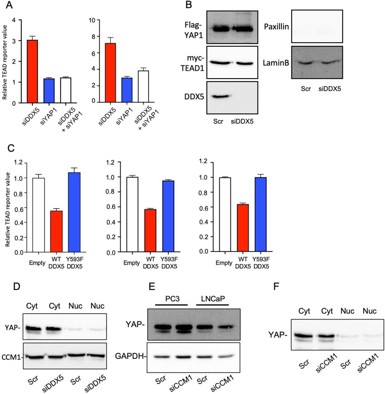 CCM1 and DDX5 regulate Yes-associated protein (YAP)/transcriptional co-activator with PDZ-binding motif signaling. (A) RNAi-mediated suppression of DDX5 or YAP1 alone or co-suppression of DDX5 and YAP1 was performed, and TEAD reporter activity was analyzed in C4-2 (left) and C4-2B (right) cells grown in medium supplemented with charcoal-stripped FBS and stimulated with DHT for 18 h. (B) PC3 cells co-transfected with overexpression plasmids for Flag-YAP, myc-TEAD1, and siDDX5, were harvested, and nuclear lysates were generated. Shown are immunoprecipitation input samples from the nuclear lysates used in Figure 5H . Paxillin, a cytosolic marker, is not shown in these nuclear lysates. (C) WT or Y593F DDX5 was overexpressed in LNCaP (left), C4-2B (middle), and CWR22r (right) cells, and TEAD reporter activity was measured. (D) Subcellular localization of YAP was analyzed in DDX5-suppressed PC3 cells. (E) YAP expression was analyzed in the total lysates of CCM1-suppressed PC3 and LNCaP cells. (F) Subcellular localization of YAP was analyzed in CCM1-suppressed PC3 cells. Cyt: cytosolic fraction, Nuc: nuclear fraction.