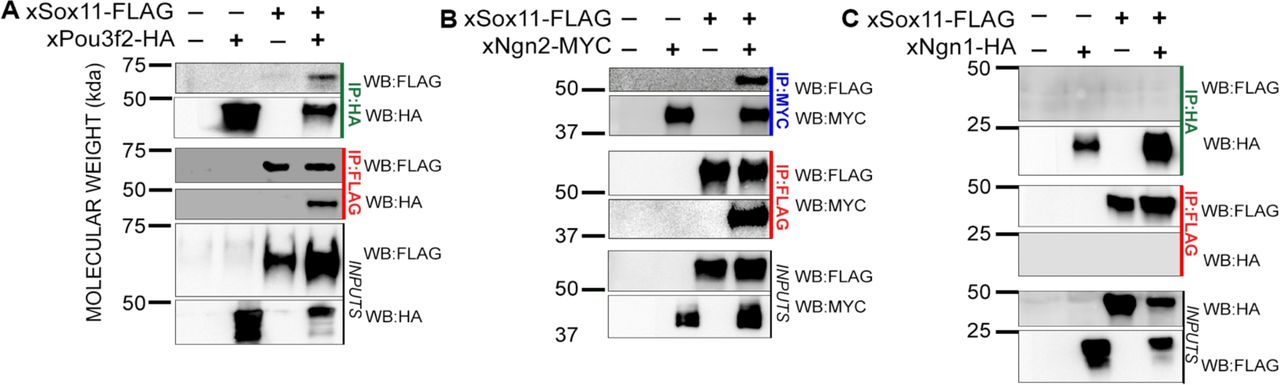 Xenopus Sox11 interacts with xPou3f2 and xNgn2, but not xNgn1 A-D Immunoprecipitation (IP) of xSox11-FLAG and xPou3f2-HA (A), xNgn2-MYC (B) or xNgn1-HA (C) from in vitro translated proteins. Proteins were immunoprecipitated using either FLAG (red), HA (green) or MYC (blue) antibodies. Samples were analyzed by western blot (WB) indicated on the right with FLAG-HRP, MYC-HRP or HA-HRP. Inputs were run as control.