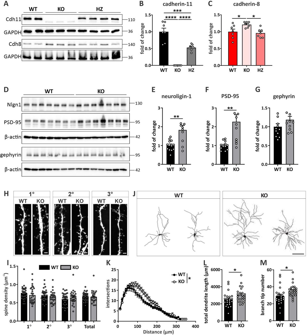 Elevated cadherin-8 expression in Cdh11 -/- mice is accompanied by an increase of excitatory synaptic proteins and dendrite complexity. (A) Western blot analysis of the expression levels of cadherin-11 and cadherin-8 in P7 Cdh11 wild-type (WT), heterozygous (HZ) and knockout (KO) mouse brains. Cadherin-11 expression is not detectable in Cdh11 KO brains. Cadherin signals were normalized to GAPDH. Quantification of the expression of (B) cadherin-11 and (C) cadherin-8 in Cdh11 WT, HZ and KO brains. Cdh11: **** p