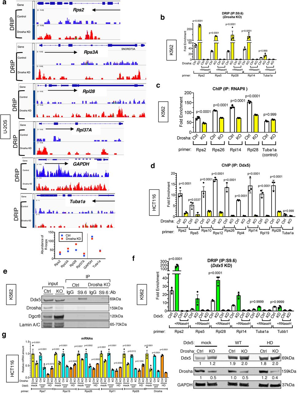 The Ddx5 helicase reduces DNA/RNA hybrid and facilitates transcription elongation. A. DNA/RNA hybrid IP-sequencing (DRIP-seq) data indicate increased R-loops at the RPG loci (Rps2, Rps3A, Rpl28, and Rpl37A) and control loci (GAPDH and Tuba1a) in Drosha KD cells (red) compared to control U-2 OS cells (blue) (top). Quantitation of the DRIP-seq data is shown (bottom). b. DRIP analysis of RPG loci (Rps2, Rps5, Rpl14) and control locus (Tuba1a) locus in the presence or absence of RNase H in HCT116 cells expressing CRISPR/Cas9 against Drosha (KO) or non-specific control (Ctrl). Four sets of primers used for DRIP analysis are indicated as black boxes in the top panel (bottom). Signal relative to input is plotted as Mean ± SEM. n=3 c. ChIP-qPCR analysis using anti-RNAPII antibody was performed in K562 cells cells expressing CRISPR/Cas9 against Drosha (KO) or non-specific control (Ctrl). Primers for RPG loci (Rps2, Rps26, Rpl14, Rpl28) and control locus (Tuba1a) are shown. Mean ± SEM. n=3. d. ChIP-qPCR analysis using anti-Ddx5 antibody of RPG loci (Rps2, Rps5, Rps10, Rps12, Rps26, Rpl4, Rpl14, Rpl19, Rpl28) and control locus(Tuba1a) in control (Ctrl) or Drosha KO HCT116 cells. Fold enrichment of Ddx5 antibody pull-down against IgG pull-down is plotted as Mean ± SEM. n=3. e. Immunoprecipitation of DNA/RNA hybrids with the S9.6 antibody, followed by immunoblot analysis of Ddx5, Drosha, Dgcr8 and Lamin A/C (negative control) in Ctrl or Drosha KO K562 cells. f. DRIP analysis of RPG loci (Rps2, Rps5, Rpl4, Rpl28) and control loci (Tuba1a and Tubb1) locus in the presence or absence of RNase H in K562 cells targeting Ddx5 gene ( Ddx5 KO) by RNAi or non-specific control (Ctrl). Result is plotted as Mean ± SEM. n=3 g. qRT-PCR analysis of various RP mRNAs and Drosha mRNAs (relative to GAPDH) in Ctrl or Drosha KO HCT116 cells transfected with empty plasmid (mock), Ddx5 wild type (WT) or the RNA helicase dead (HD) mutant expression plasmid (left). Result is plotted as Mean ± SEM. n=3 Dr