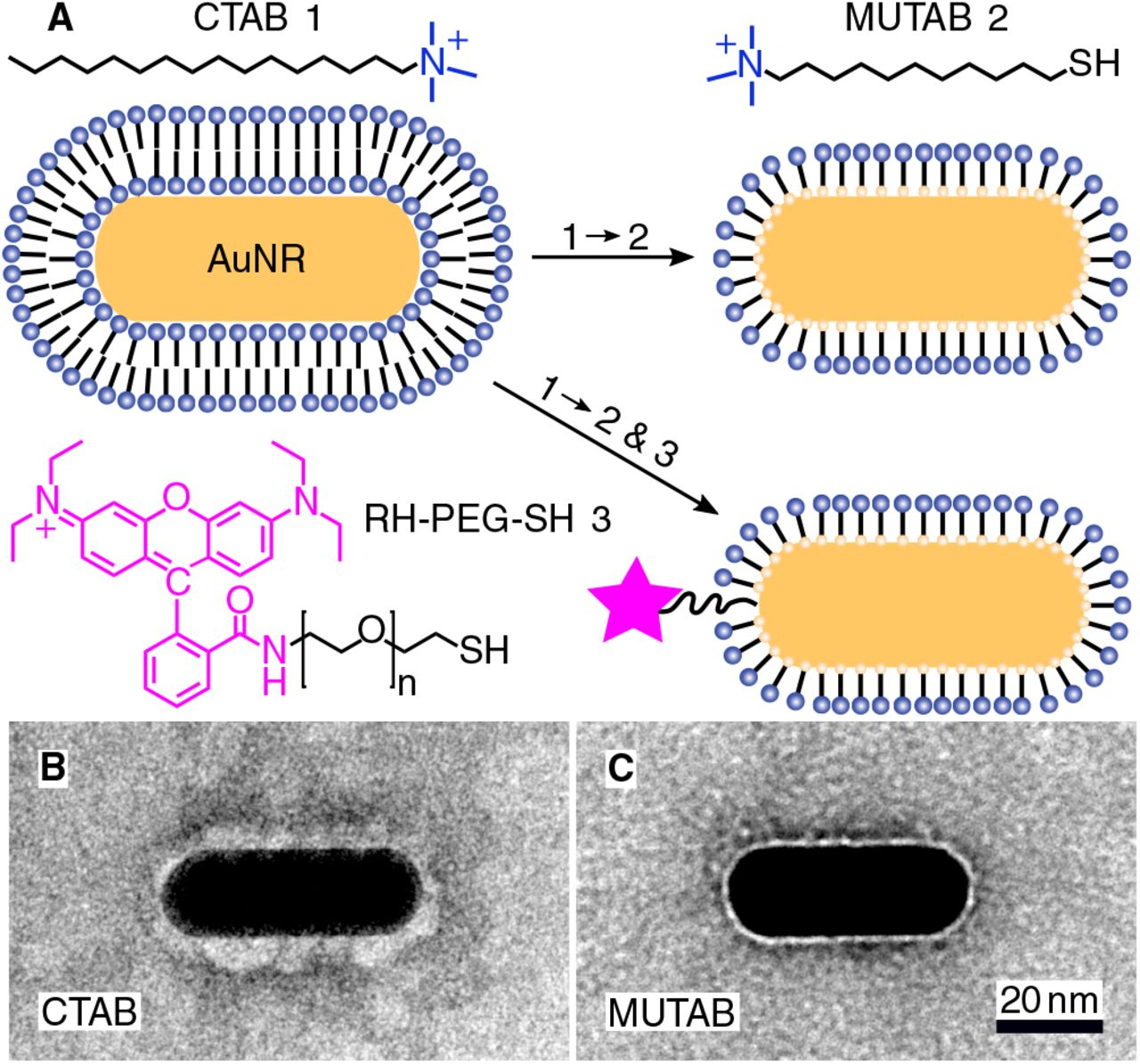 ( A ) A gold <t>nanorod</t> (AuNR) coated with an adsorbed CTAB (Molecule 1) bilayer is functionalized with MUTAB (Molecule 2) to create a monolayer of cationic ligands covalently bound to the nanorod surface via gold-thiol bonds (top row). Alternatively, MUTAB was complemented with a rhodamine-PEG-thiol derivative (RH-PEG-SH, n = 77, Molecule 3) as a fluorescent label. Negative-stained TEM images of ( B ) CTAB-coated and ( C ) MUTAB-functionalized AuNRs.