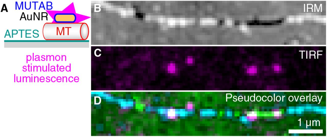 ( A ) AuNRs for plasmonic excitation and photoluminescence emission (magenta). AuNRs were only coated with MUTAB (blue, positively charged) interacting with a microtubule (MT, red, negatively charged) attached to an APTES (dark cyan, positively charged) coated surface (gray). ( B ) IRM, ( C ) TIRF, and ( D ) IRM-pseudocolor–TIRF overlay image of AuNRs bound to a single microtubule (green/cyan indicating different microtubule-surface distances, see Materials and Methods for details on the pseudocolor overlay). Note that no fluorophores were present and that AuNR markers did not blink or bleach.