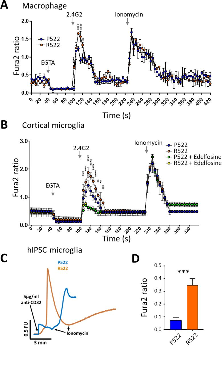 Receptor-mediated release of Ca 2+ in macrophages and microglia. A . Fura2 340/380 time traces from M-CSF-differentiated macrophages derived from conditionally-immortalised macrophage precursor cell lines (M-MØP) of Plcg2 P522 mice (P522, blue) and Plcg2 R522 mice (R522, red). One set of cell lines, generated from male mice, is shown. Cells were exposed to 5µg/ml anti-FcγRII/III along with 20µM EGTA and 2µM Ionomycin as indicated. B . Fura2 340/380 time traces from primary microglia derived from the cortex of Plcg2 R522 mice (blue: P522) and Plcg2 R522 mice (red: R522) with or without pre-exposure for 2 hours with Edelfosine (10µM). Cells were exposed to 5µg/ml anti-FcγRII/III along with EGTA and 2µM Ionomycin. Data in A and B shows the mean±SD of 3 independent experiments analysed by two-way ANOVA with Sidak post-hoc tests. PLCG2 R522 hiPSC-derived microglia show increased cytosolic Ca 2+ influx in comparison to controls following activation of PLCγ2 using anti-CD32. Cytoplasmic Ca2+ increase following activation of PLCγ2 using anti-CD32 Representative Ca 2+ traces ( C ) and graphical summary ( D ). 3 independent PLCG2 R522 CRISPR-engineered clones were examined. Data shown is mean±SD of 4 independent experiments and were analysed by one-way ANOVA with Tukey's multiple comparison test (** = p