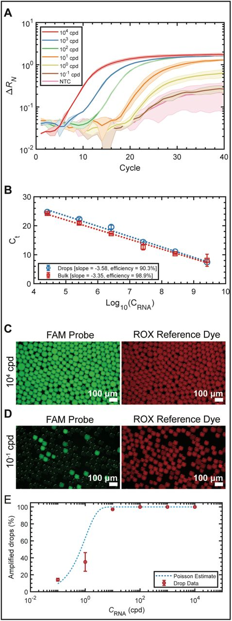 qRT-PCR dilution series of in vitro transcribed IAV M gene in drops (A) Amplification curves of six 10-fold dilutions of M gene RNA amplified in drops ranging from 10 −1 to 10 4 copies of RNA per drop (cpd). (B) C t standard curves for the bulk and drop amplification curves. The calculated qRT-PCR reaction efficiency was 90.3% for the drop dilution series and 98.9% for the bulk dilutions series, which falls within the desired range (90% to 110%). Representative epifluorescence images of the FAM and corresponding ROX channels of drops containing (C) 10 4 cpd and (D) 10 −1 cpd after 40 thermocycles. (E) Droplet digital PCR (ddPCR) analysis displaying the percentage of amplified drops as a function of RNA cpd. The total percentage of amplifying bright drops (red circles) increases as a function of RNA concentration and closely follows the Poisson estimate (blue dotted line).