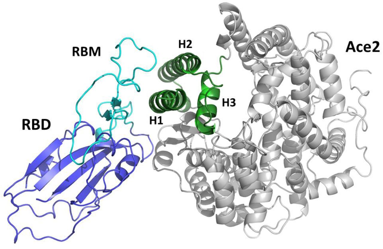 Cartoon representation of the complex between the receptor binding (RBD) domain of SARS-CoV-2 Spike protein (blue/cyan) and the human ACE2 receptor (grey/green). The receptor binding motif (RBM) is drawn in cyan. The green portion of the ACE2 domain including helices H1, H2 and H3 is drawn in green.