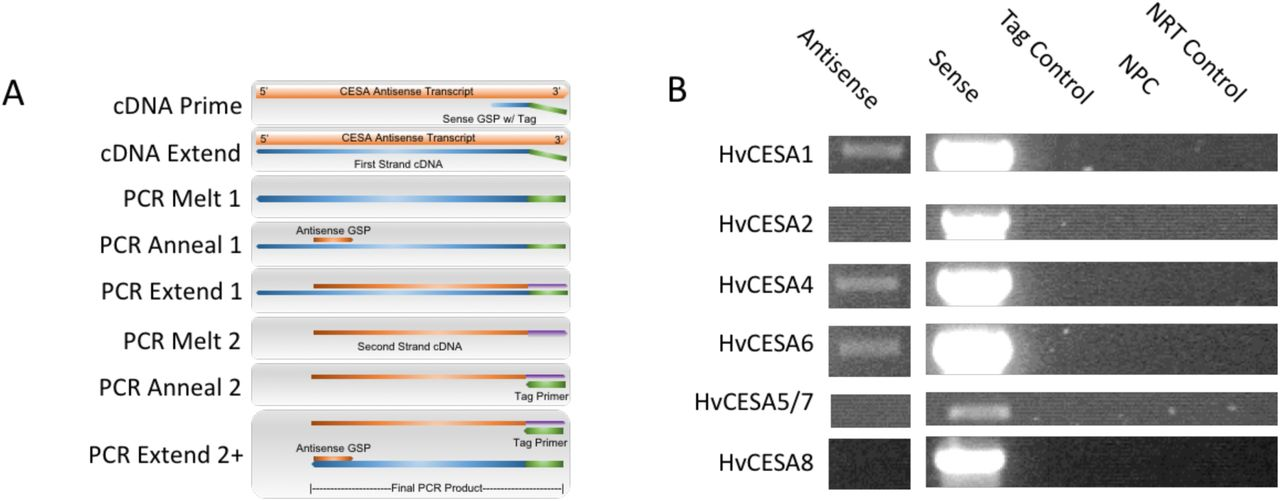 A survey of the HvCESA family for antisense transcripts. (A) Schematic representation of tagged, SS-RT-PCR for antisense transcript detection. First strand cDNA synthesis uses a sense gene specific primer (GSP) that is reverse-complementary only to putative antisense transcripts. To minimize PCR artifacts, a unique tag is added to the 5' end of the sense GSP for first strand cDNA synthesis. Tagged cDNA is amplified with an antisense GSP and the tag primer. Thus, only bona fide antisense transcripts will be amplified. (B) Tagged, SS-RT-PCR of barley third leaf RNA for the detection of HvCESA antisense transcripts. PCR was performed with antisense GSPs and tag primer for Antisense, Tag control, no-primer control (NPC), and no RT (NRT) control samples. Sense transcripts were amplified using both antisense and (untagged) sense GSPs from oligo dT primed cDNA. Identity of the tagged, antisense PCR products was confirmed by DNA sequencing. See Table S1 for individual primer sequences.