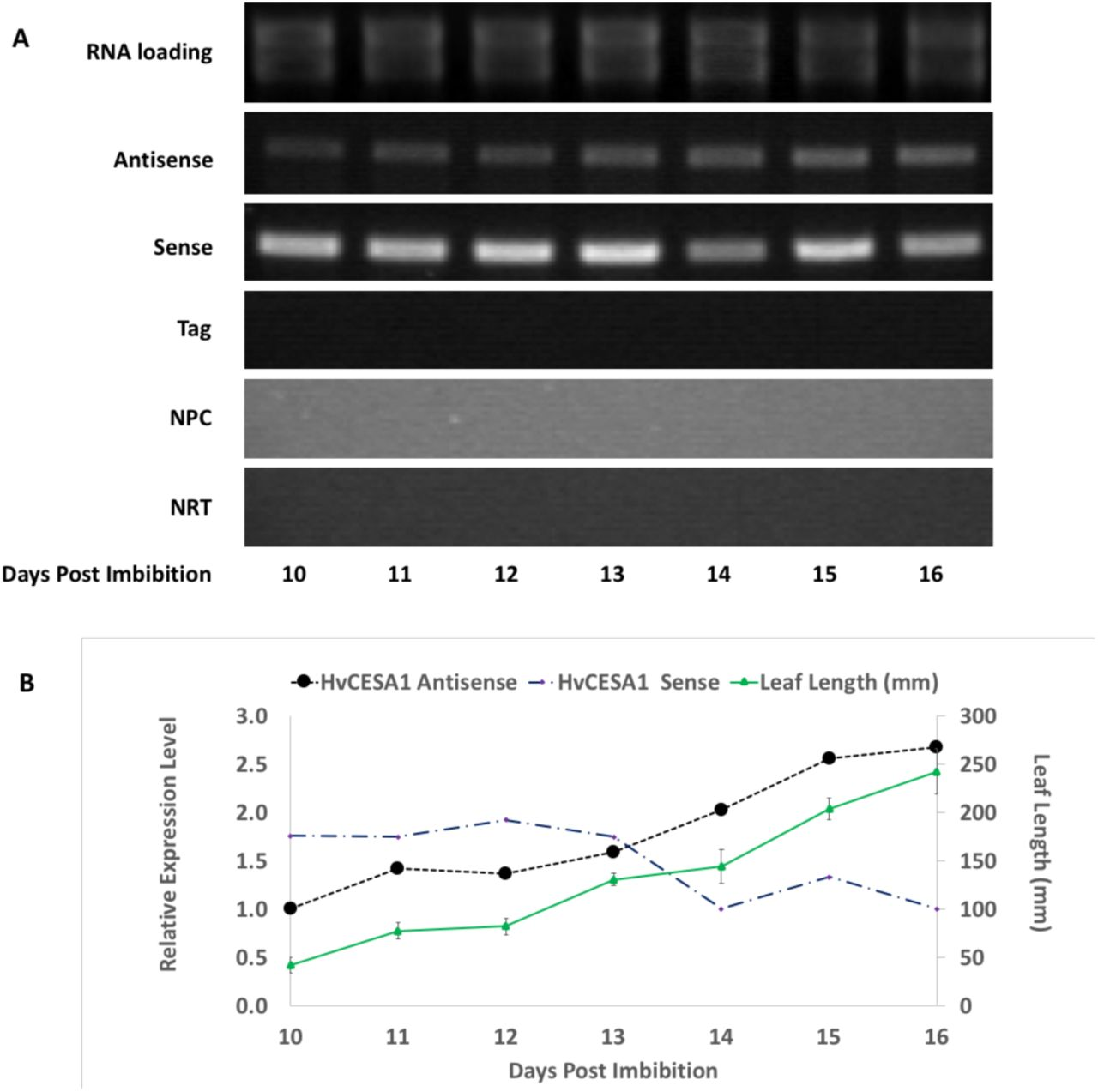 Detection of HvCesA1 antisense transcripts by SS-RT-PCR. (A) Tagged SS-RT-PCR was performed to detect HvCesA1 antisense transcripts over the course of third leaf development (10-16 days post imbibition). First-strand cDNAs were prepared using HvA1-sense-Tag1 GSP (antisense; NRT control), oligo dT (sense; Tag control), or no primer at all (NPC). The HvA1-antisense GSP and the Tag1 primer were used for amplification of the antisense, Tag, NPC, and NRT samples. For sense amplification, HvA1-sense and HvA1-antisense GSPs were used with oligo dT primed cDNAs. PCR products were confirmed by DNA sequencing. (B) Gel densitometry was performed to estimate HvCESA1 sense and antisense transcript abundances. Data were normalized to RNA loadings and expressed relative to the first day of collection (=1). Values are representative of multiple technical replicates (n ≥ 3). Overlaid are the average leaf blade lengths (mm) ± SD (n ≥ 3).