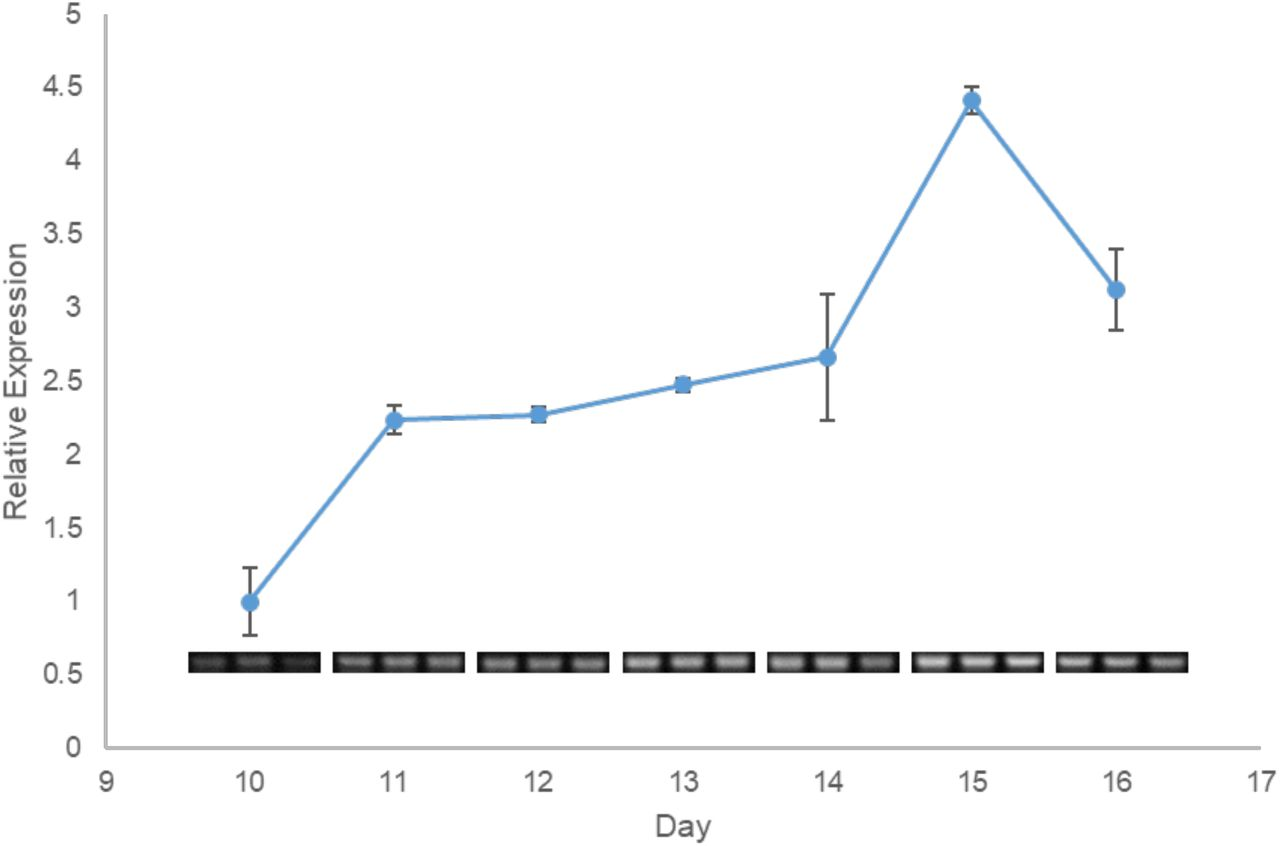 Additional time course study for HvCESA1 antisense. SS-RT-PCR was performed to determine the expression of HvCESA1 antisense transcripts over the course of barley third leaf development. Band intensities after agarose gel electrophoresis were determined by densitometry and expressed relative to day 10 of the time course. Values are averages of three technical replicates (gel images shown below each time point). Error bars represent SD.
