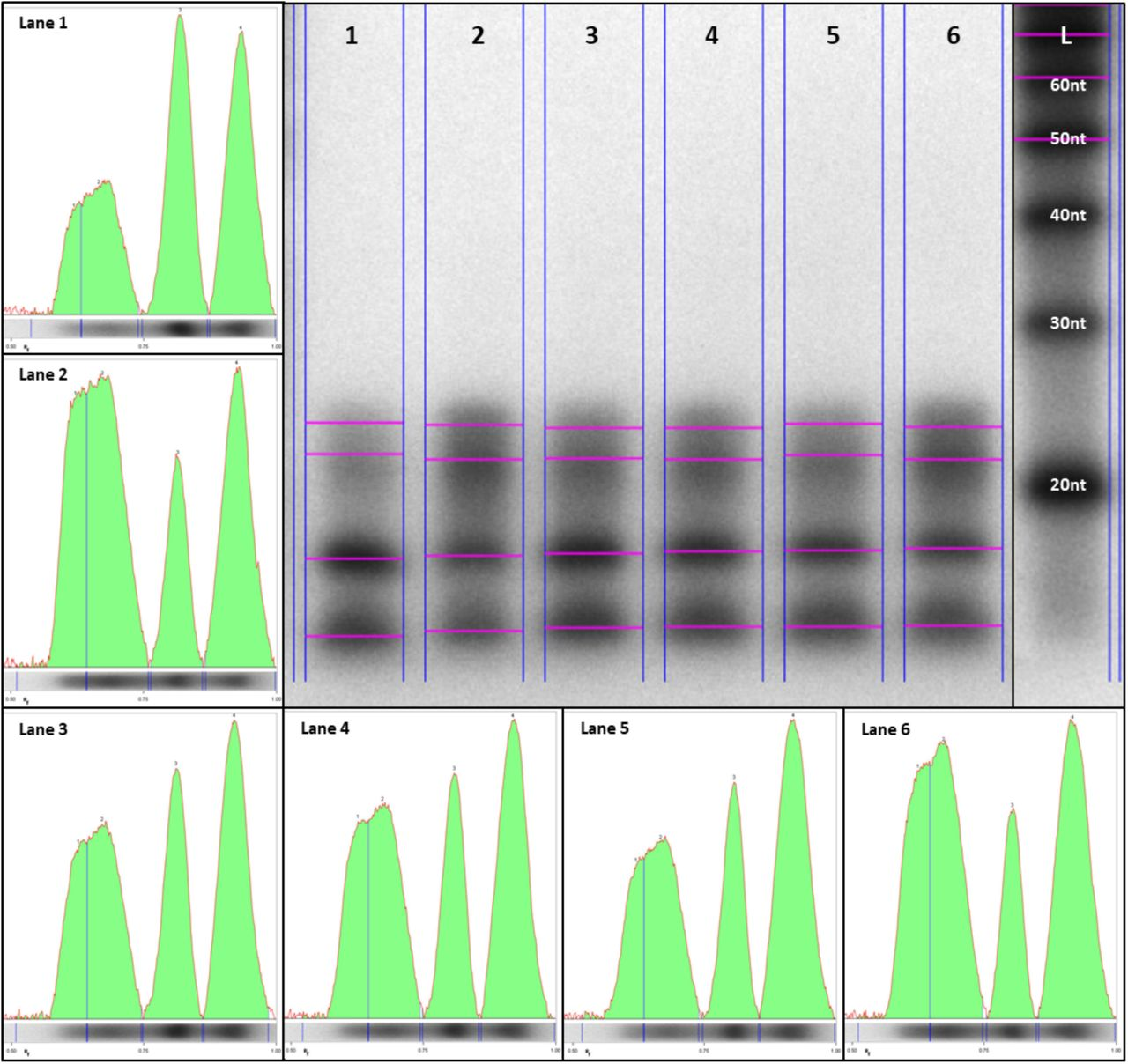 HvCESA1-associated sRNAs. Ribonuclease protection assays were performed to detect HvCESA1 -derived sRNAs across barley leaf development 11-16dpi (Lanes 1-6). A sense RNA probe was used to protect HvCESA1 antisense RNAs. Band intensities for lanes 1-6 are shown in individual panels to evaluate the resolution and abundance of 21-24nt bands. Smaller bands (