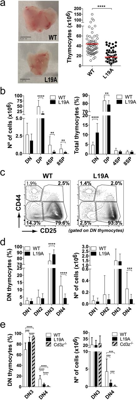 Reduction in size of thymic populations in L19A mice. (a) Thymus size and total number of thymocytes. Representative images of WT and L19A thymuses (left). Scale bar is equivalent to 0.25cm. Quantification of total number of thymocytes (right). Each dot shows the total number of thymocytes in an individual mouse. (b) Quantification of numbers (left) and percentage (right) of the major populations of thymocytes defined according to expression of CD4 and CD8. Results and statistical analysis shown are based on data from 10 independent experiments. (c) Representative plots of the DN (CD4-CD8-) subpopulations defined by the expression of CD44 and CD25 and (d) quantification in percentage (left) and cell number (right) of these populations. The DN population was pre-gated on the lineage negative (LIN-) population (CD4-, CD8-, CD19-; B220- and CD11c-). Graphs show the averages calculated on the basis of data obtained from 3 independent experiments. (e) Percentage and absolute numbers of DN3 and DN4 thymocytes in WT, L19A and Cd3z -deficient (Cd3z -/- ) mice. Data come from pooling data from 38 WT, 40 L19A and 13 Cd3z -/- mice. Graphs presents the mean ± SD. P-values were calculated using an unpaired two-tailed Student's t test with 95% CI (* p