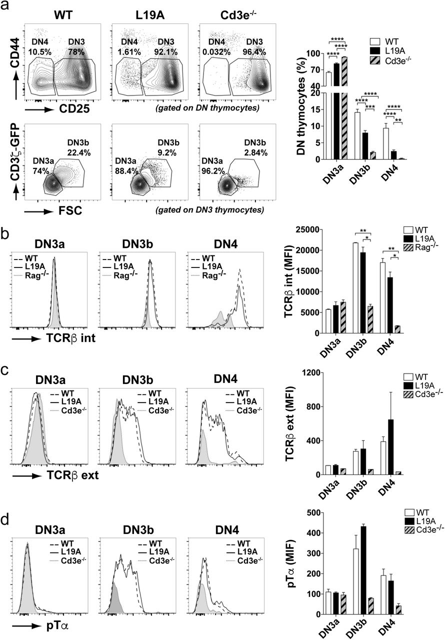 T cell differentiation in L19A mice is impaired at the DN3a to DN3b transition. (a) Representative flow cytometry plots of double negative (DN) populations in WT, L19A and Cd3e -deficient (Cd3e -/- ) thymuses according to CD44 and CD25 markers (upper panels; CD25 +/lo CD44 - DN3 and CD25 - CD44 - DN4 gates indicated) and identification of DN3a and DN3b subpopulations within the DN3 gate according to forward scatter (FSC) and CD3ζ-GFP expression (bottom panels). On the right, quantification based on pooled data from six independent experiments showing the percentage of the DN3a, DN3b and DN4 populations. (b) Representative histograms (left) and quantification (right) of the intracellular TCRβ expression levels in the DN3a (CD44 - CD25 + ), DN3b (CD44 - CD25 lo ) and DN4 (CD44 - CD25 - ) subpopulations. Thymocytes from Rag1 -deficient mice were used as a control for intracellular staining and quantification is based on one out of four experiments. (c) Representative histograms (left) and quantification (right) of the extracellular TCRβ (top panels). Data in graph represent one out of four experiments. (d) pTα expression level for the indicated DN subsets, defined by level of CD25 expression. Data in graphs are based on one out of 3 experiments. Graphs present mean ± SEM. P-values were calculated using an unpaired two-tailed Student's t test with 95% CI (* p